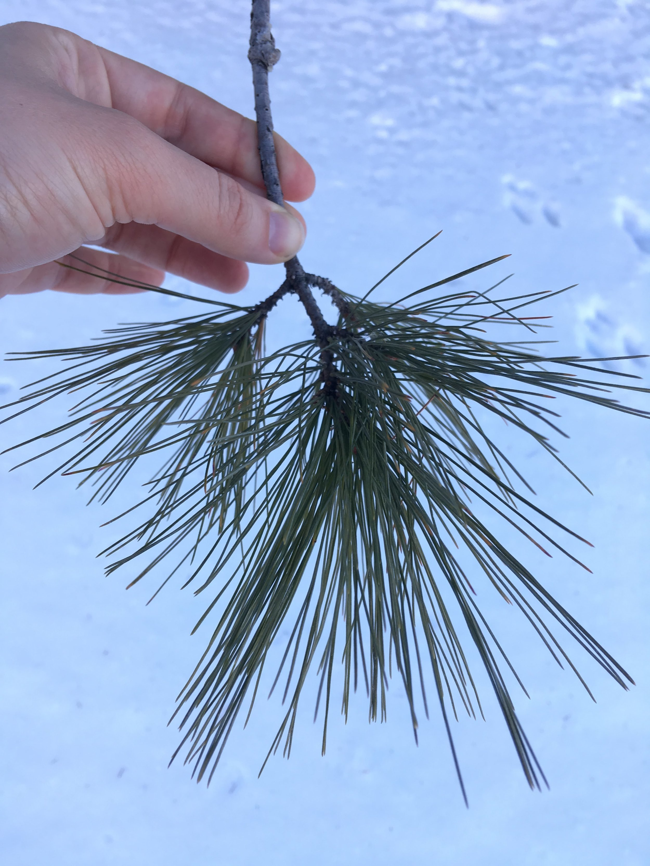 White Pine Twig