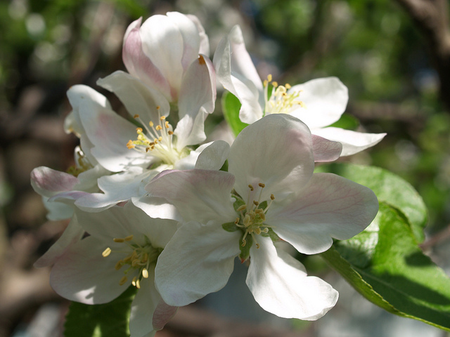 Flowers of Crab apple.  Catherine Bulinski  /  Crab Apple Tree Blossoms  /  CC BY-ND 2.0