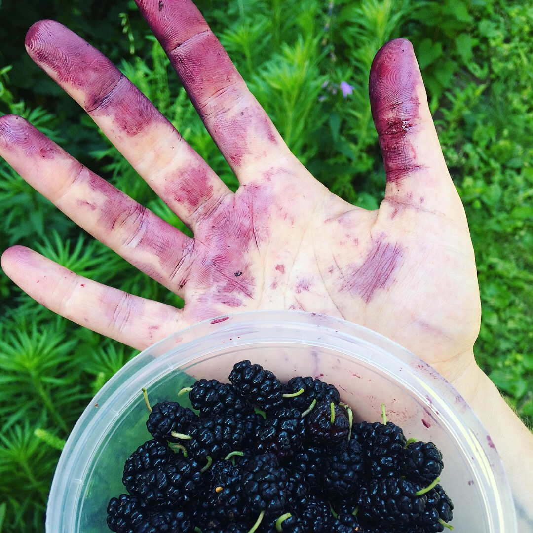 The gruesome effects of harvesting mulberries