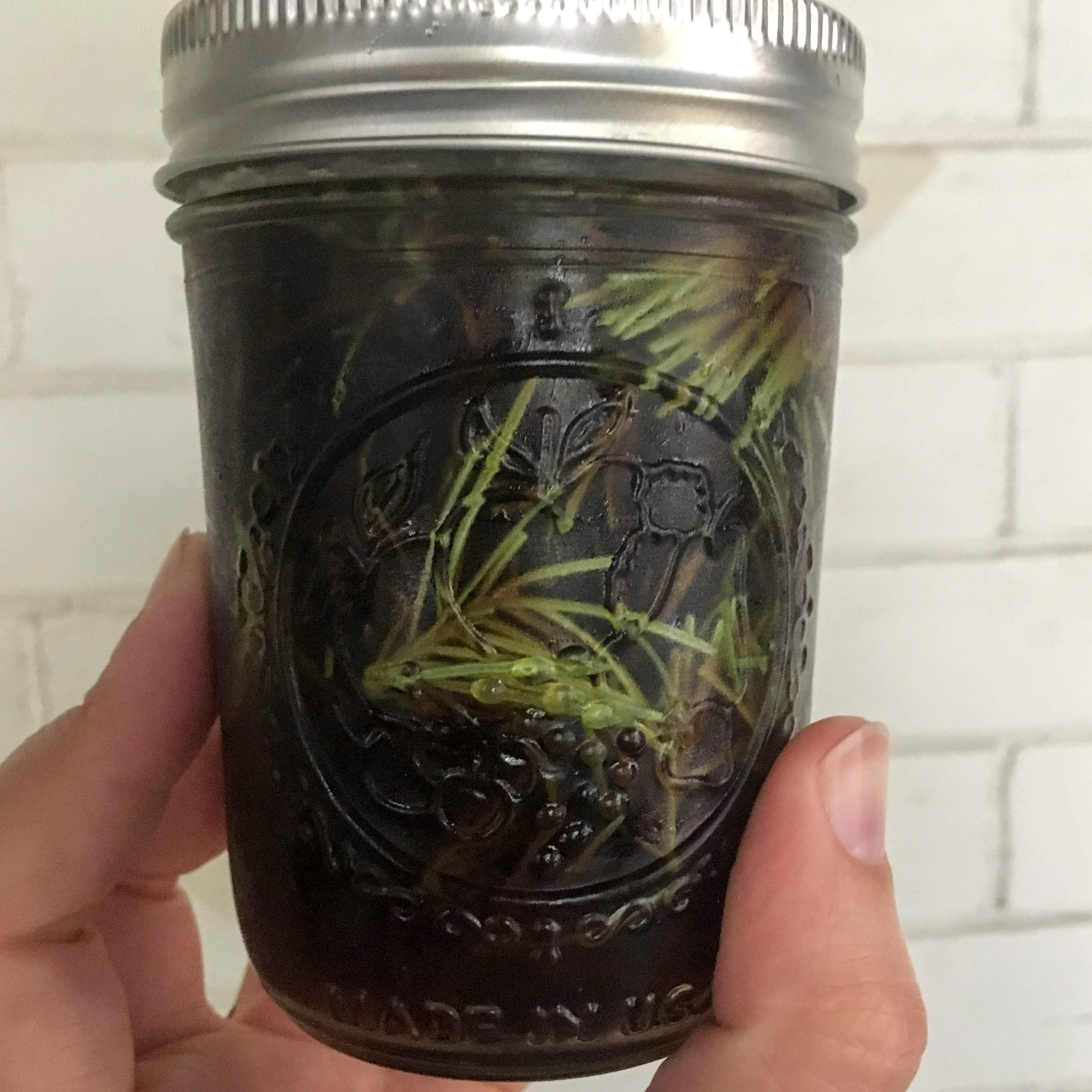Douglas fir ( Pseudotsuga menziesii ) infusing in maple syrup.