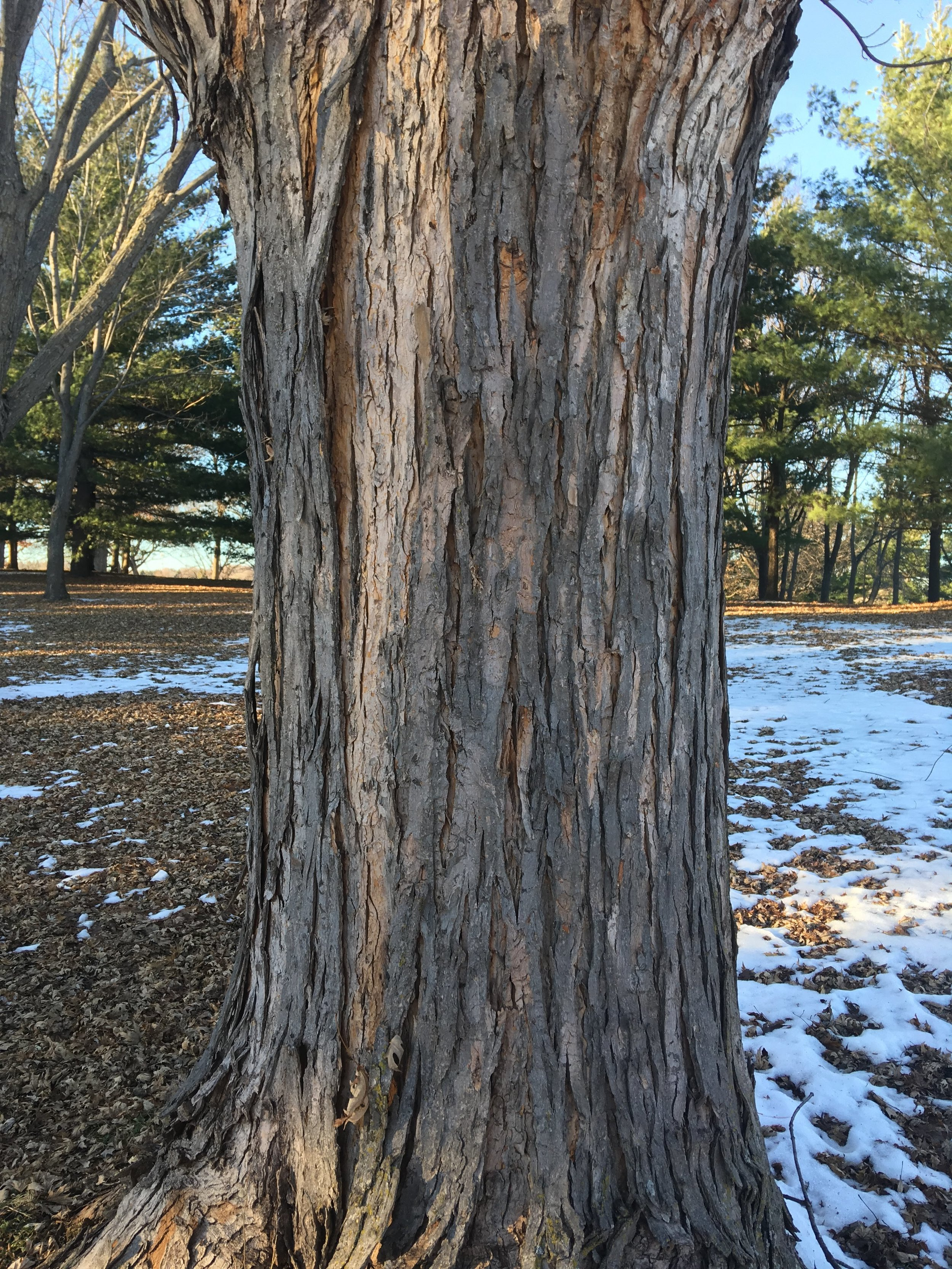 The vertically flaking bark of silver maple ( Acer saccharinum ).