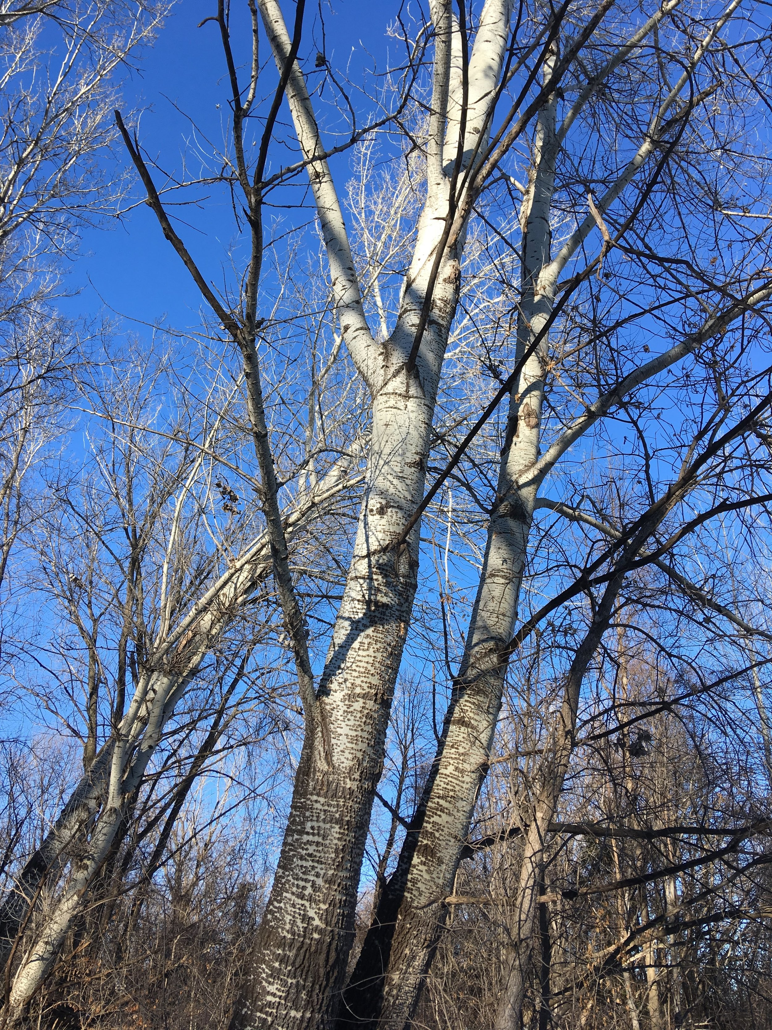 The bark of quaking aspen ( Populus tremuloides ) is bright white at the top and grey with thick furrows at the base of older trees.