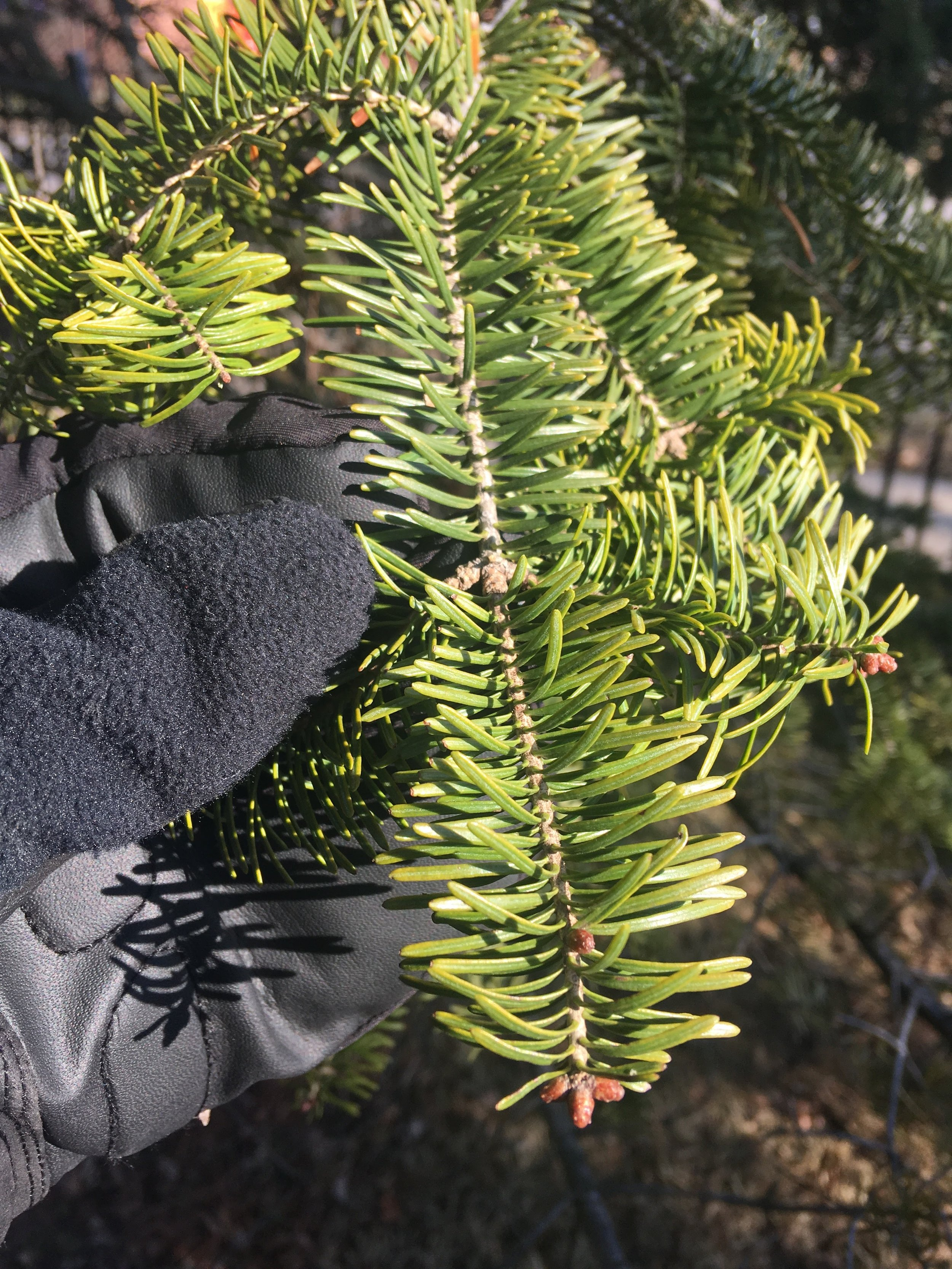Fir needles are flat with blunt or notched tips.