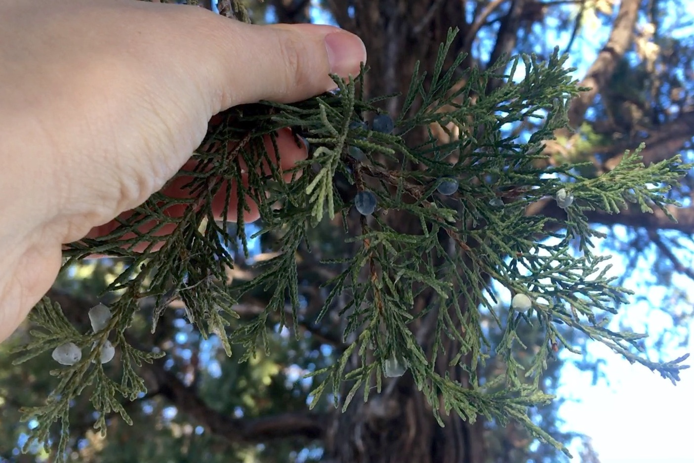 The leaves of red cedar are scale-like.