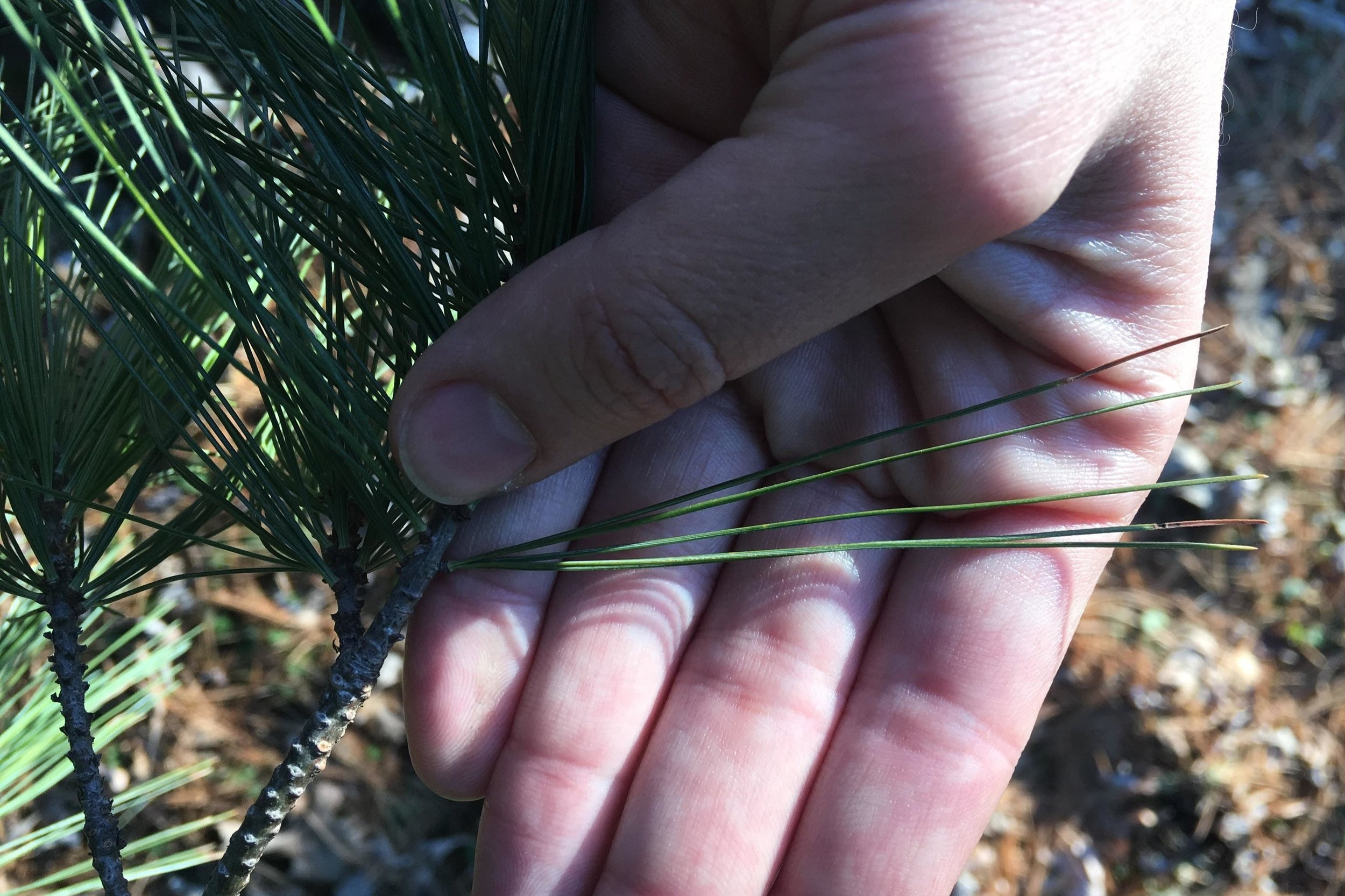 White pine needles are soft and flexible, and grow in bundles of five.