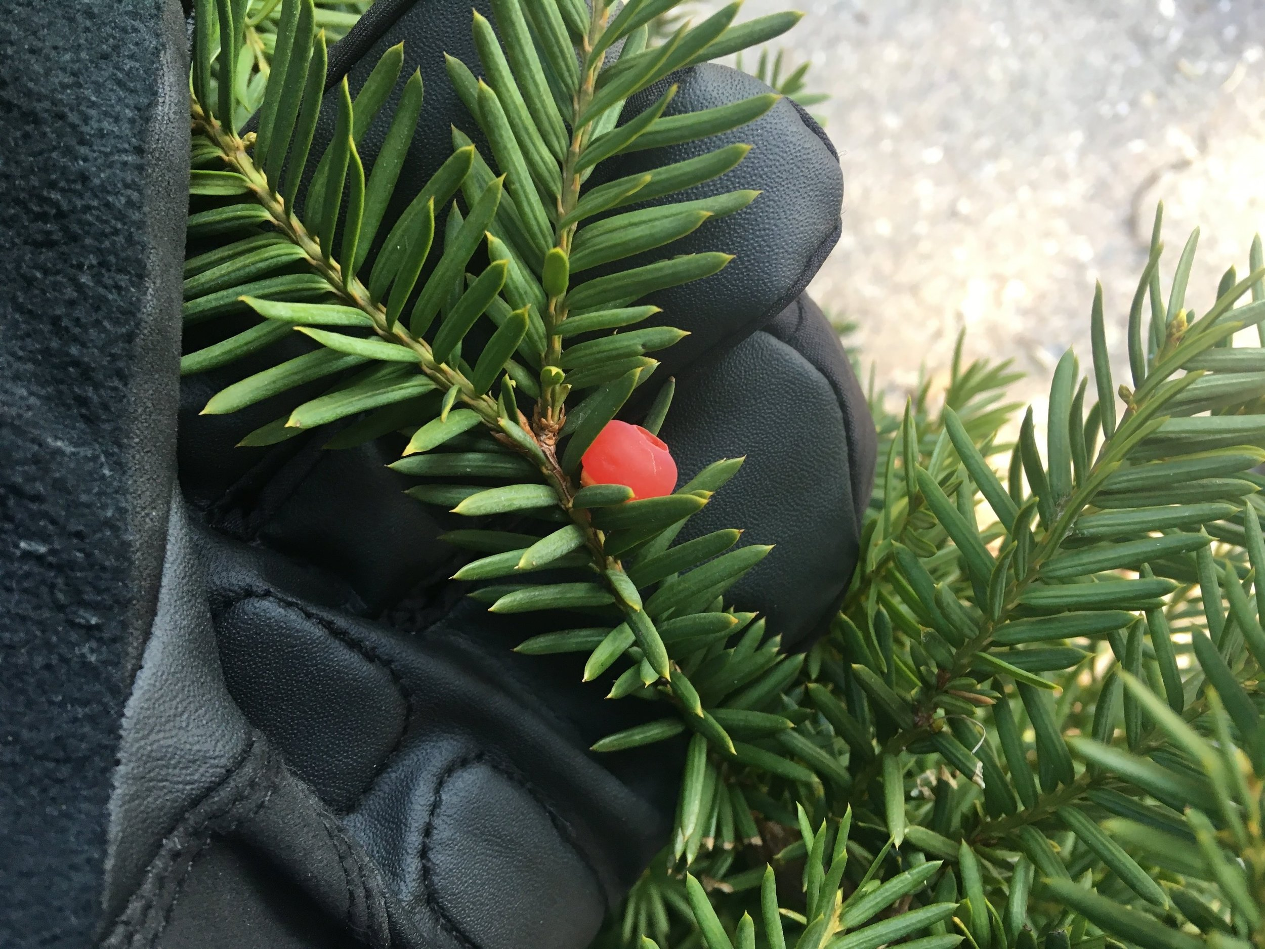 Yew leaves are flattened and have sharp tips.  Beware- toxic!
