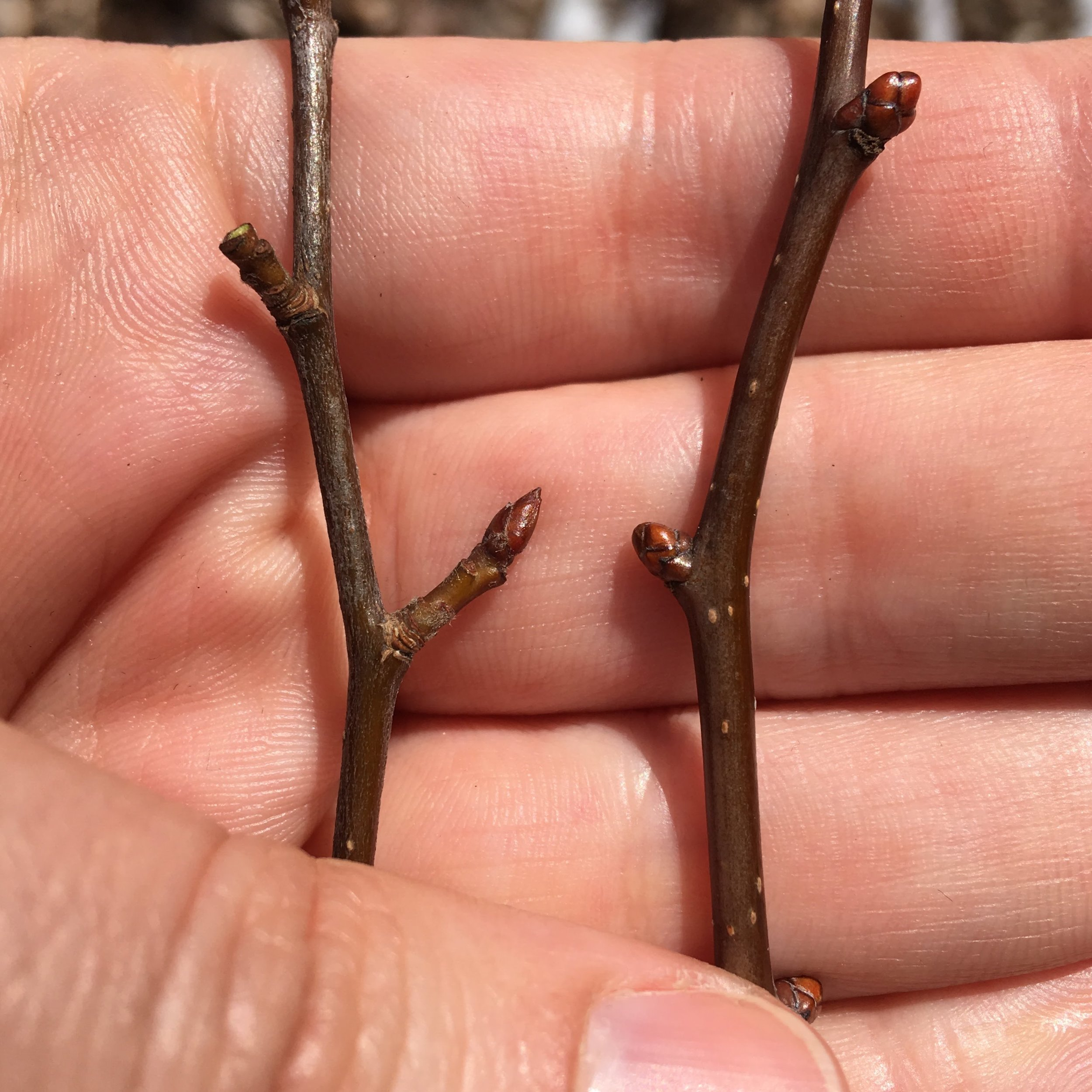 Crab apple ( Malus spp. ) buds are sharply pointed (left), while those of hawthorn ( Crataegus spp. ) are nearly spherical (right).