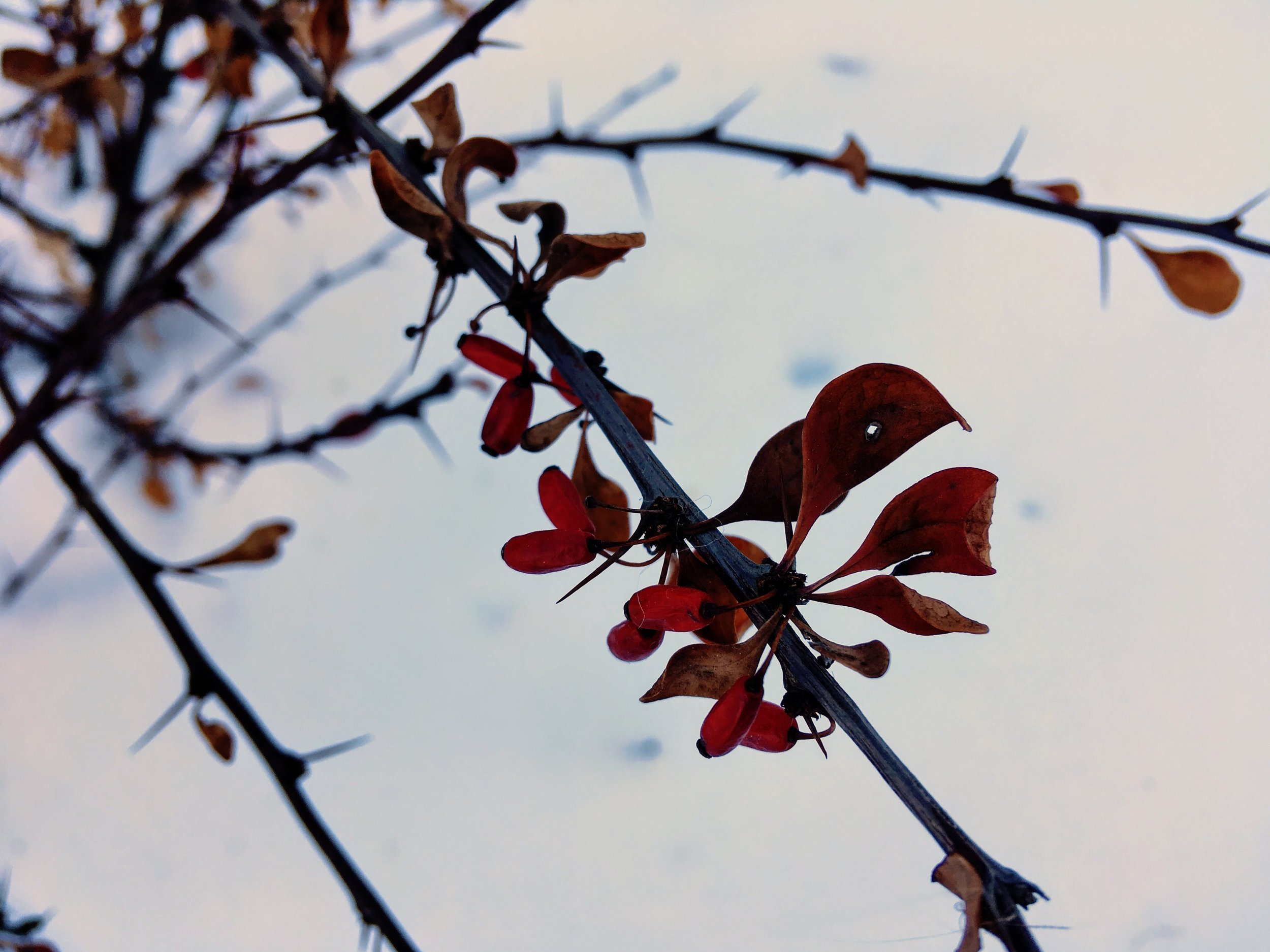 The fruits and leaves of Japanese barberry ( Berberis thunbergii ) often remain on the plant through the winter. The alternate arrangement of single thorns is key to distinguishing it from common barberry ( Berberis vulgaris ), which has three-pronged thorns.