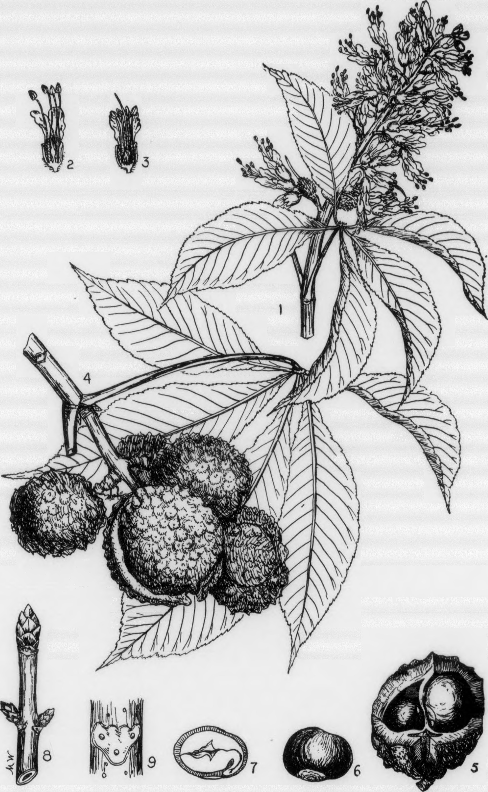 A botanical plate of Ohio buckeye ( Aesculus glabra ) showing the winter buds with scales (#8) and the leaf scar with bundle scars (#9). Note the opposite arrangement of the buds.