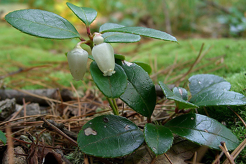 Wintergreen ( Gaultheria procumbens ) in flower. As an herbaceous evergreen, its leaves remain green through the year.  Jason Hollinger  /  Wintergreen  /  CC BY 2.0