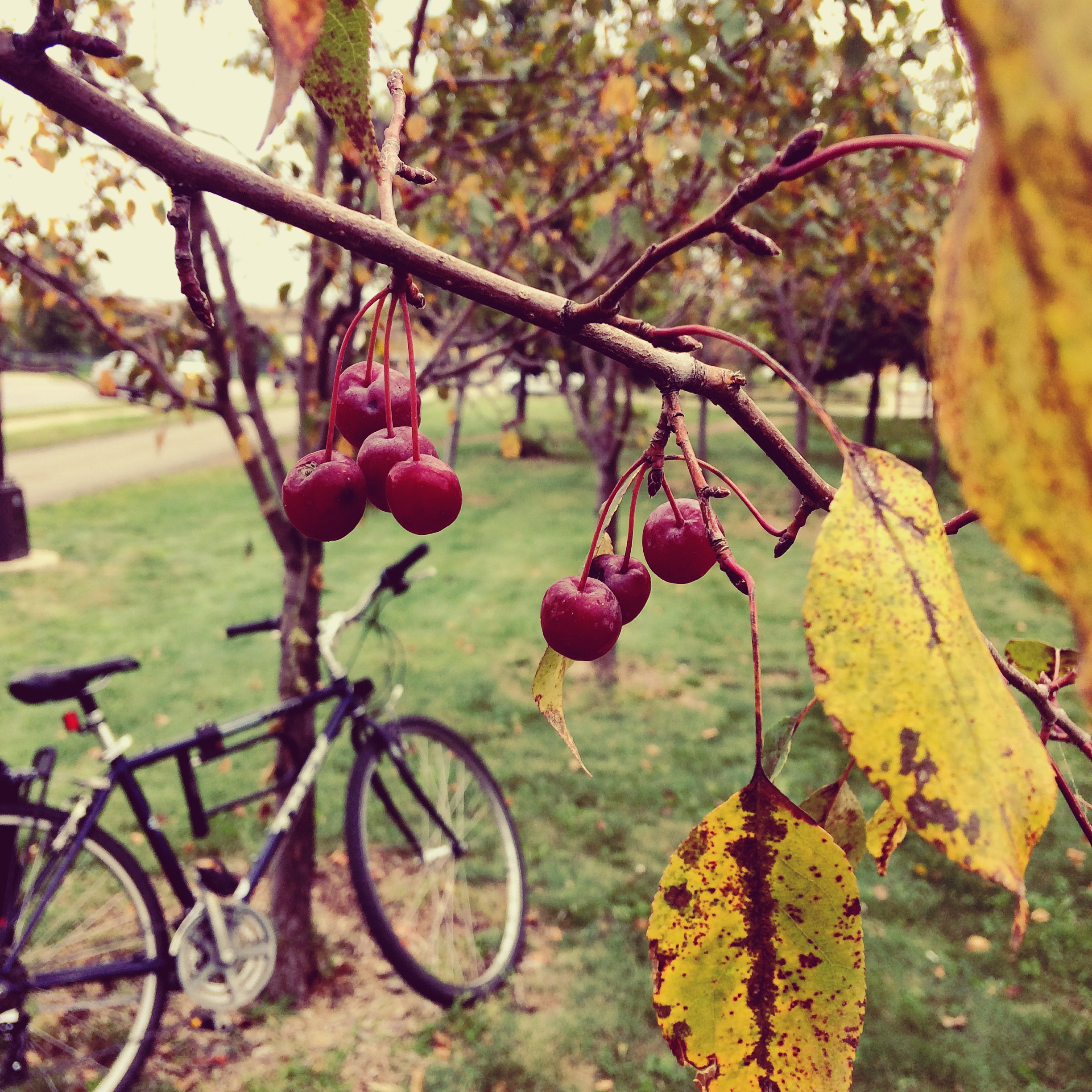 Picking crab apples along the Midtown Greenway.