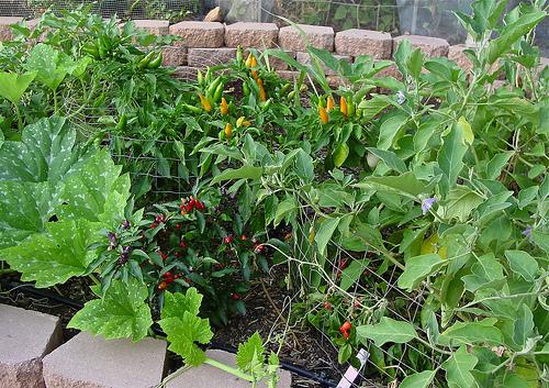 living-green-community-garden-cathy-medium500-summergarden.jpg