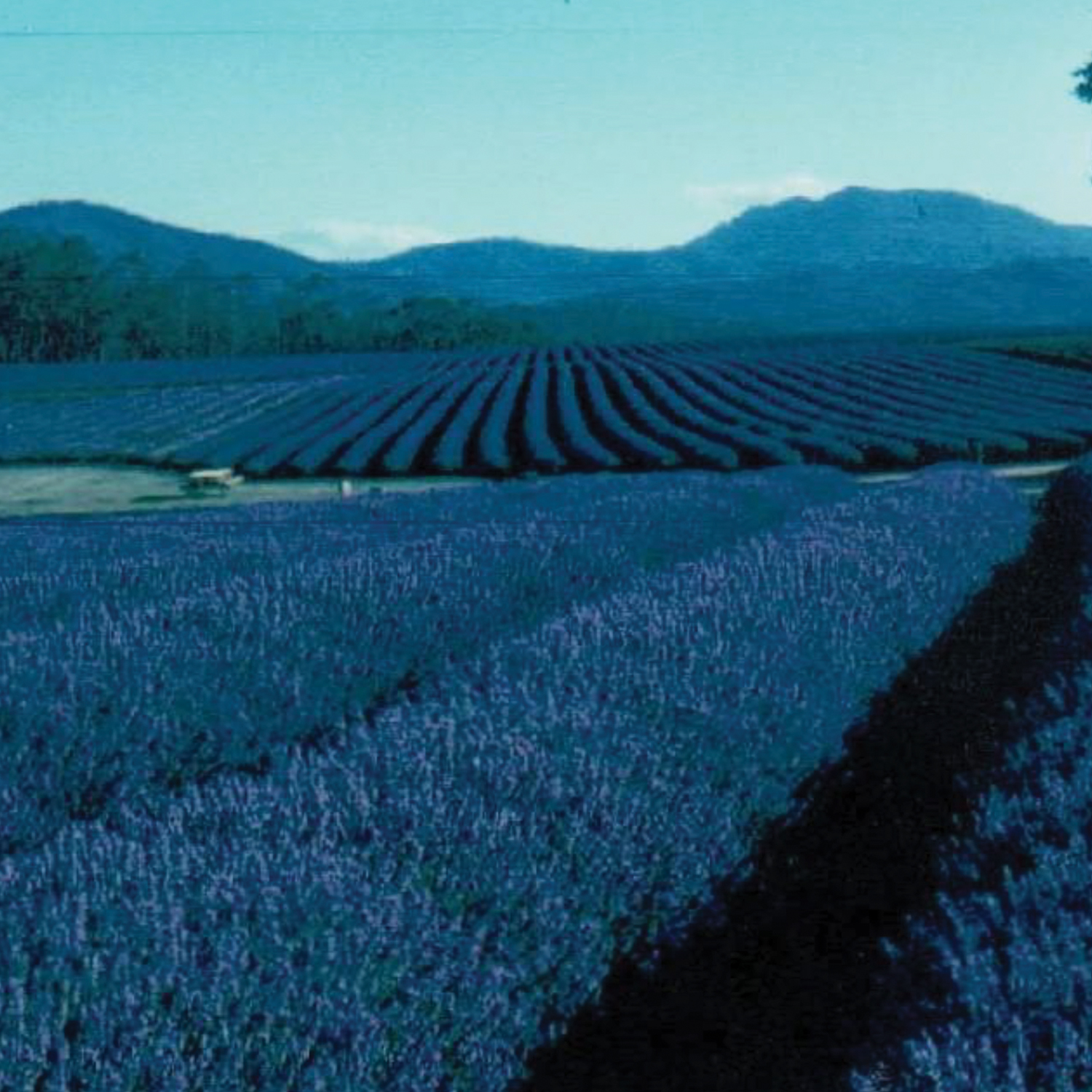 1980 - Lavender Views