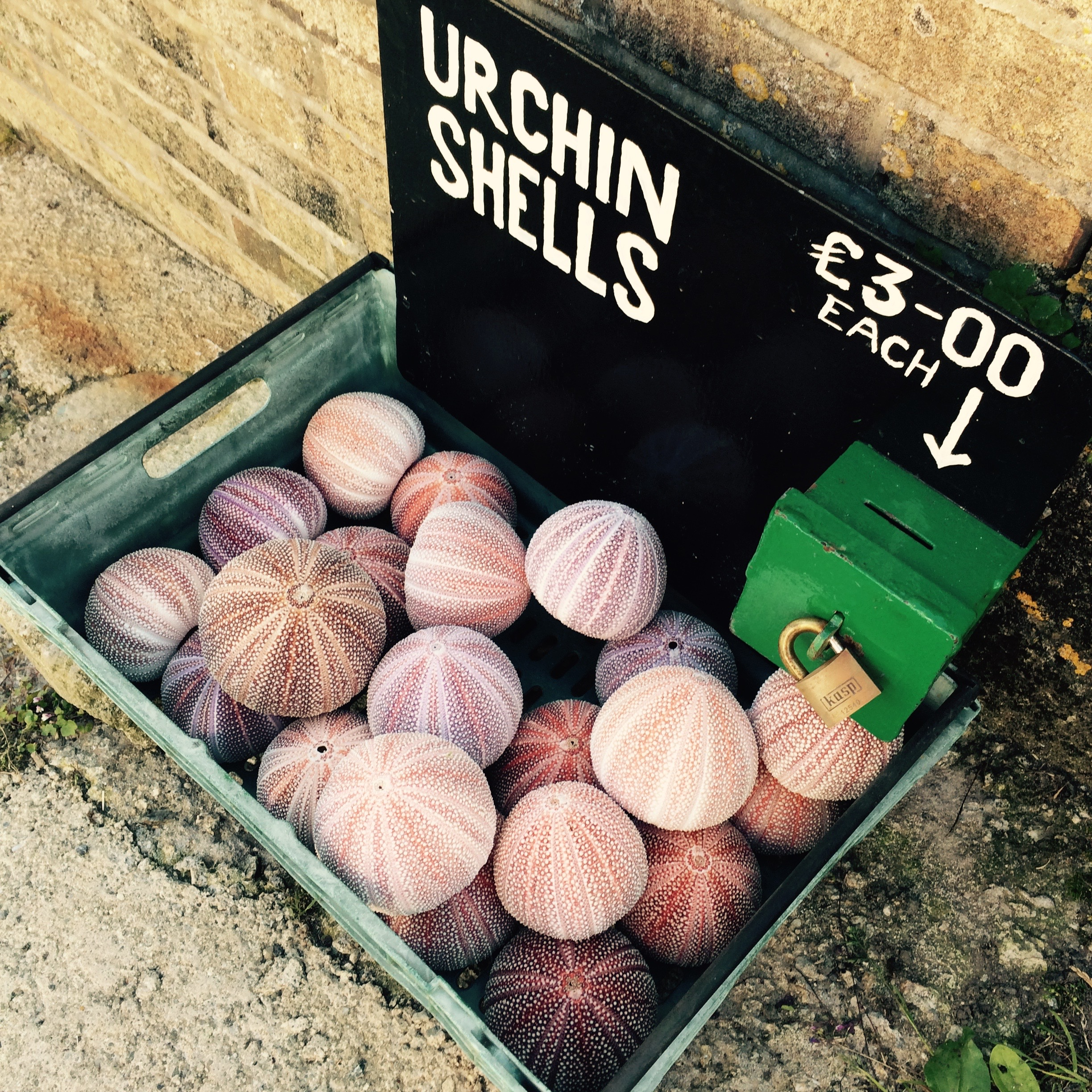Cornish urchins