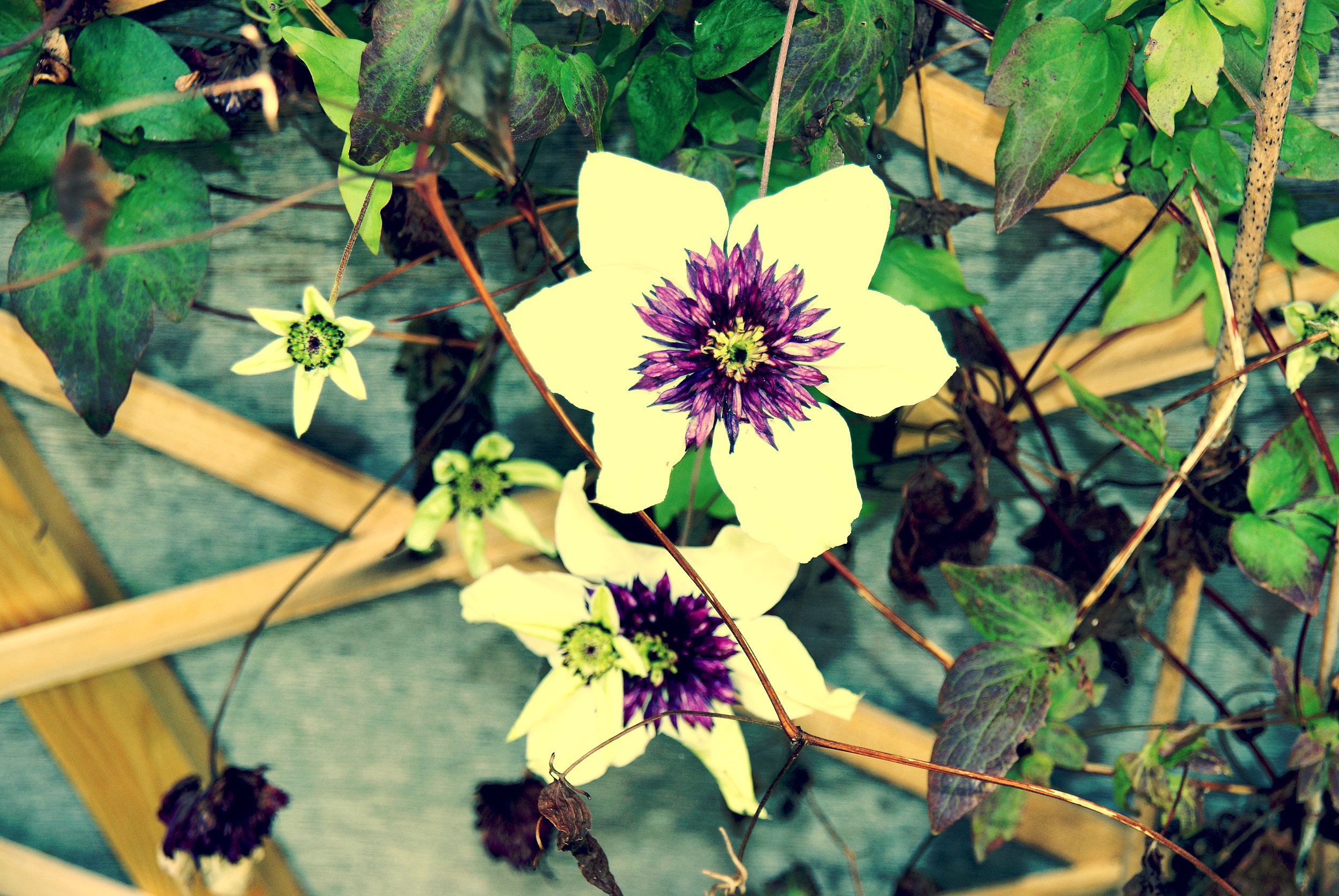 2 white and purple garden flowers 2.jpg
