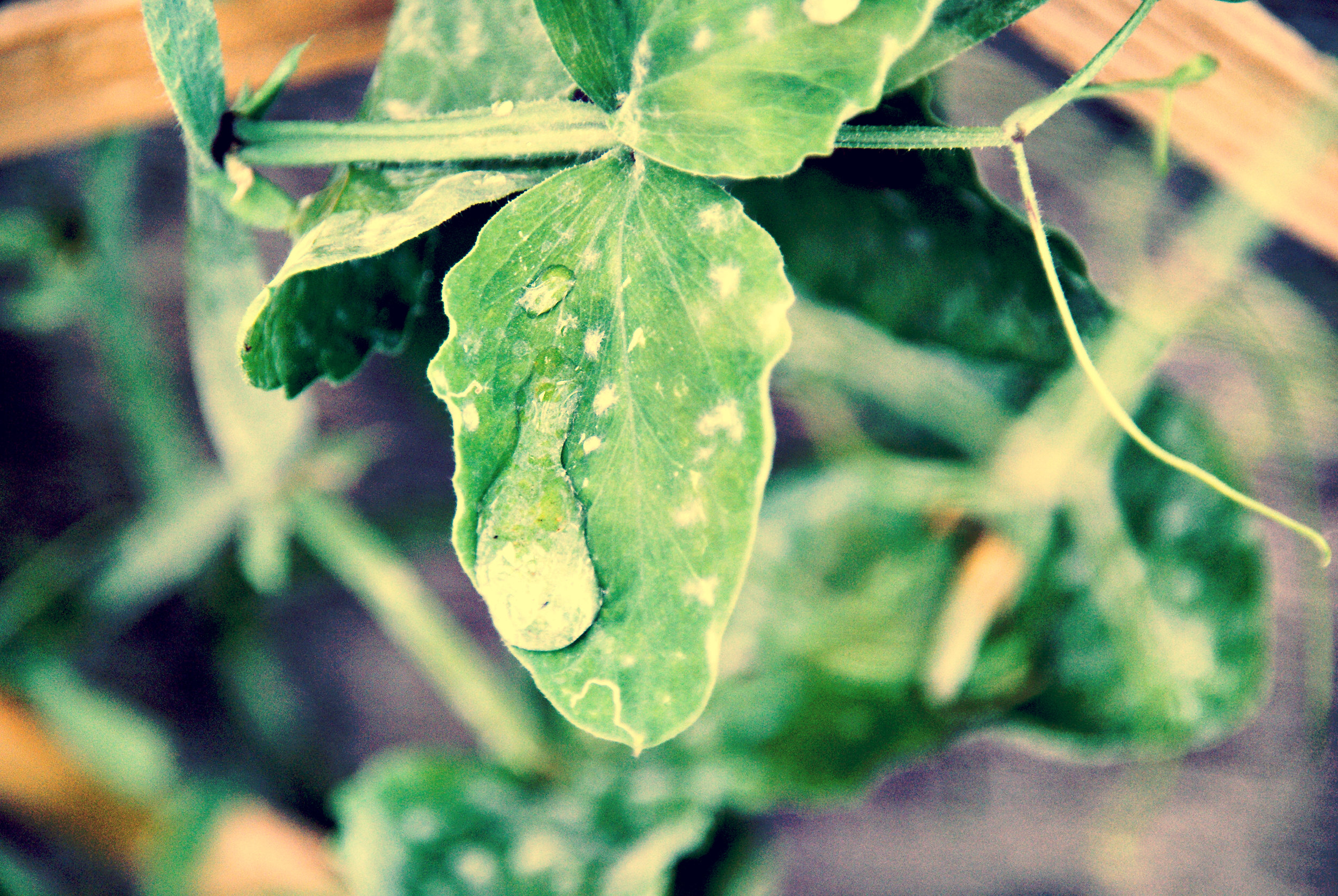 garden leaf with water drop.jpg