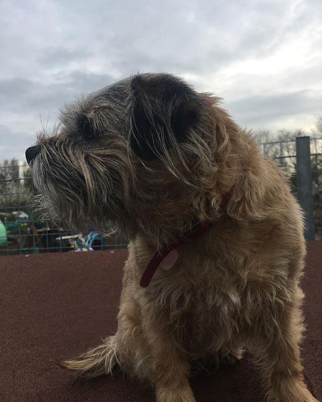 🐶 #dog #dogsofinstagram #dogs #dogoftheday #pets #pet #petsofinstagram #petstagram #dogstagram #borderterrier #borderterriers
