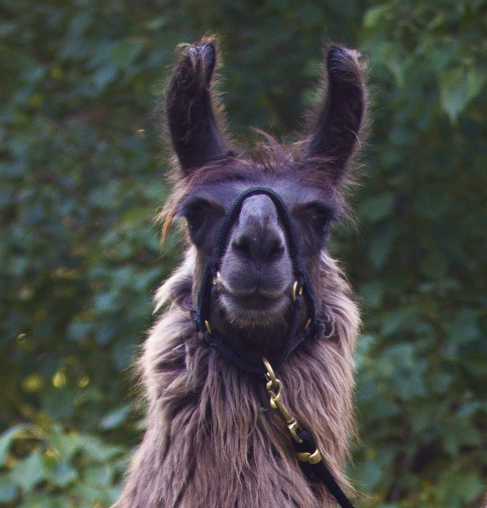 Teak - Teak is really coming into his own now and is absolutely loving coming along to our llama walks! He is gentle and kind and very inquisitive while still full of cheeky youthful enthusiasm. Teak absolutely loves going on adventures with his human and llama friends. His favourite thing to do at home is have breakfast in bed!