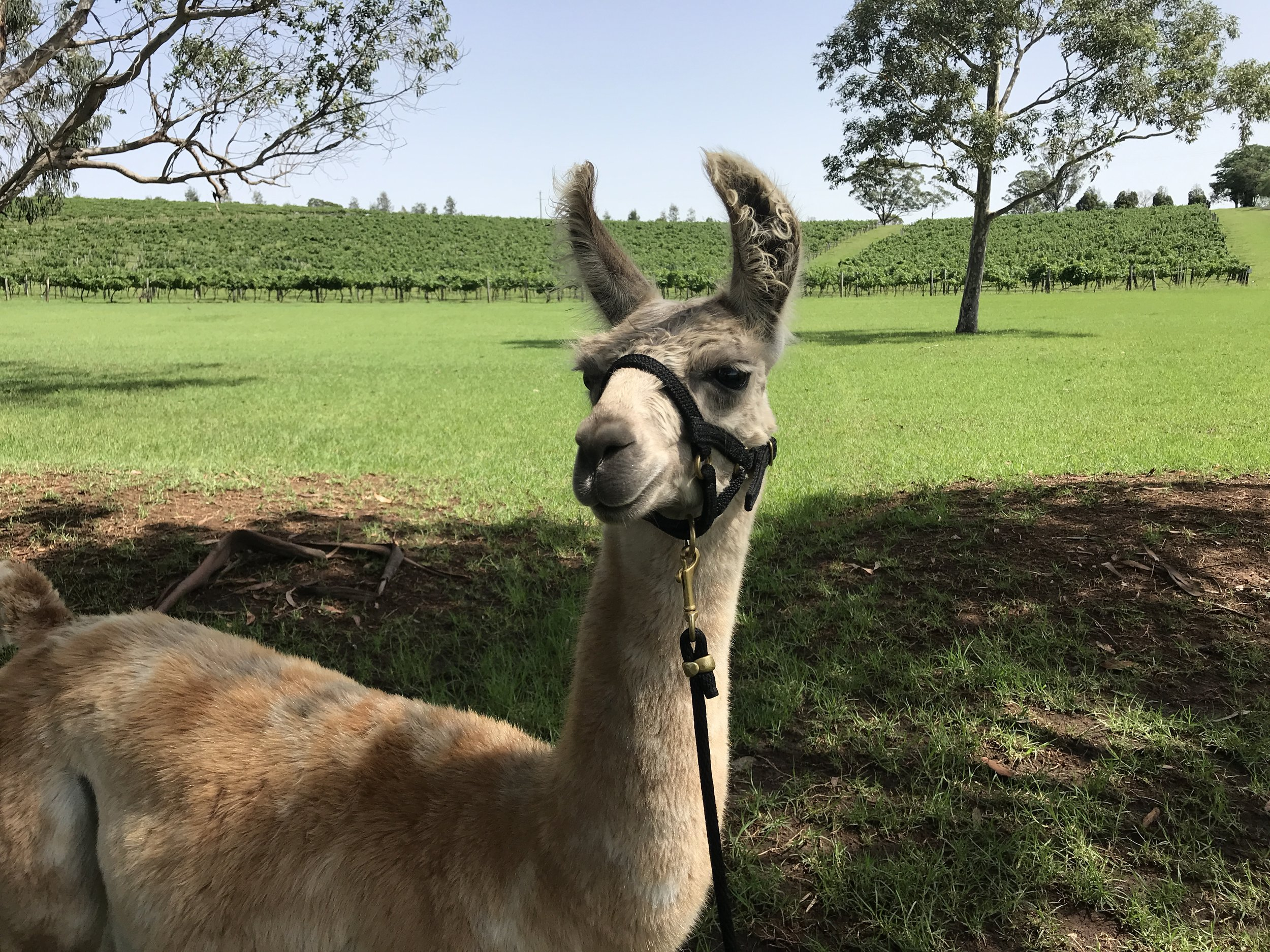 Silverado - Silverado is one of our youngest working llamas. His best mate is Spudnik and the two of them are inseparable! He enjoys coming out on the llama walks and is enjoying learning more about the world with his human and llama friends!