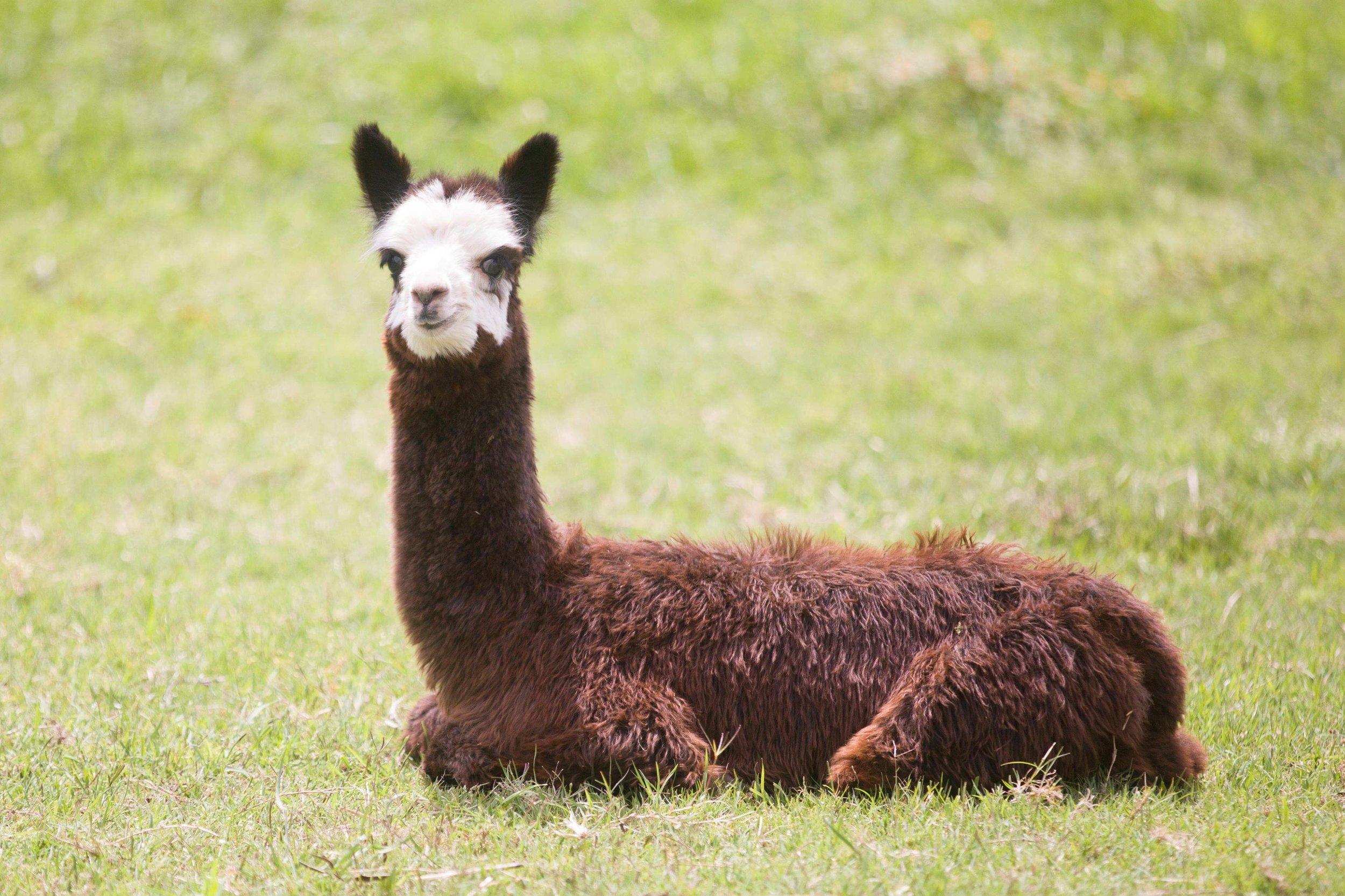 Bandit The Alpaca