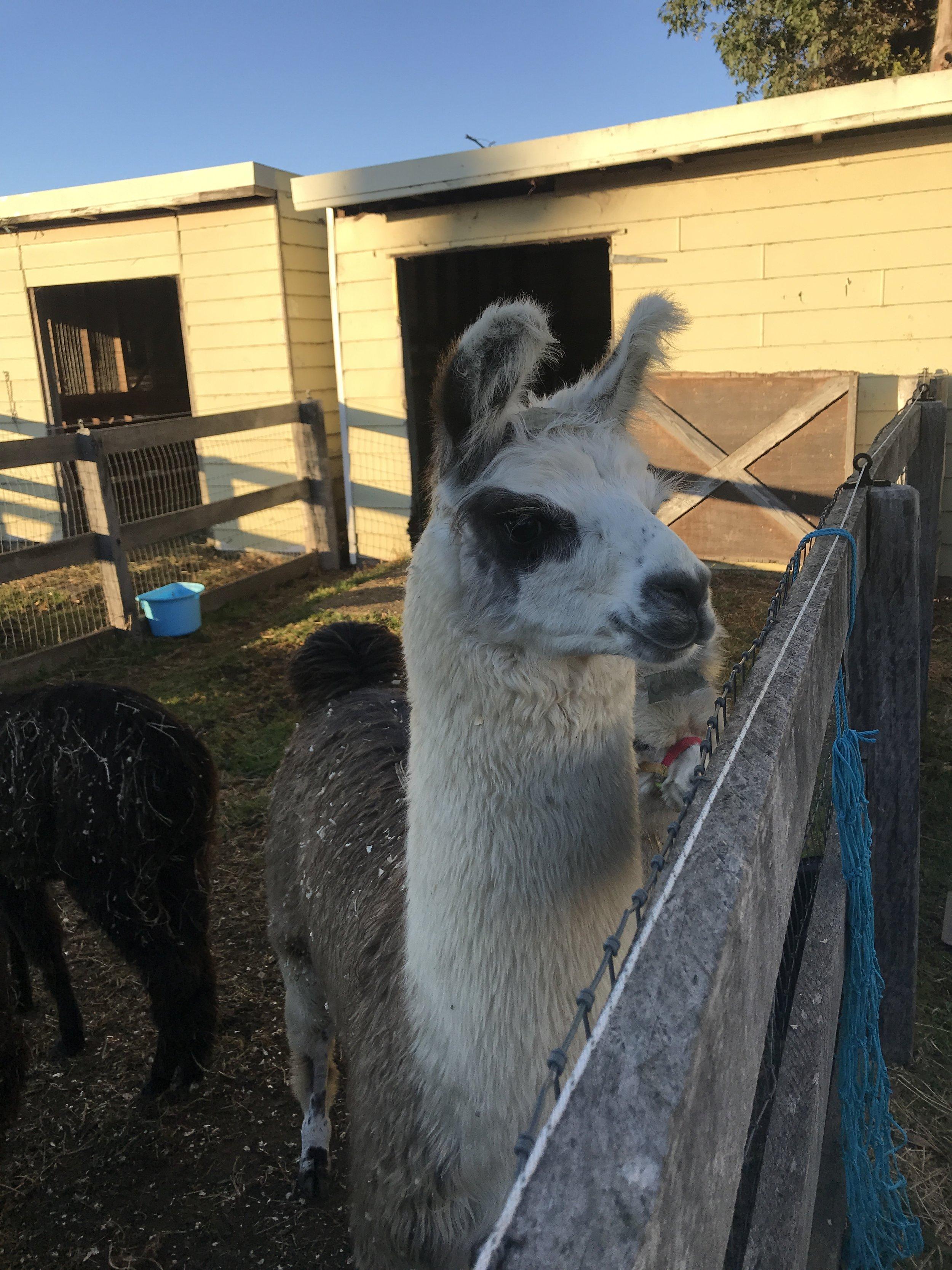 Loki The Llama