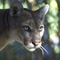 Cougar staring.jpg