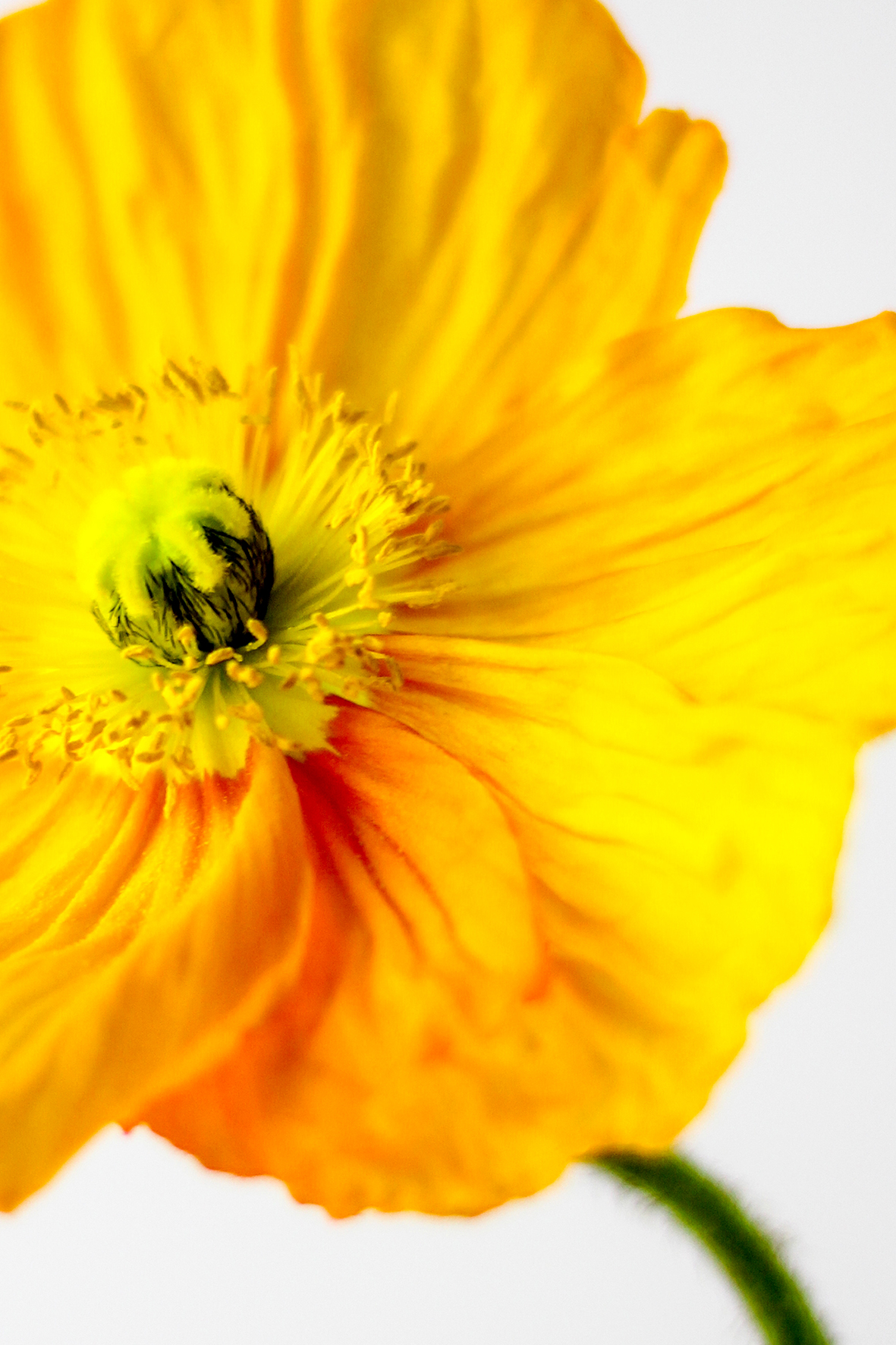 yellow daze_web.jpg