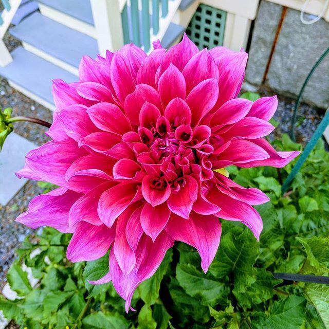 Woohoo!!! #dahlia #flower
