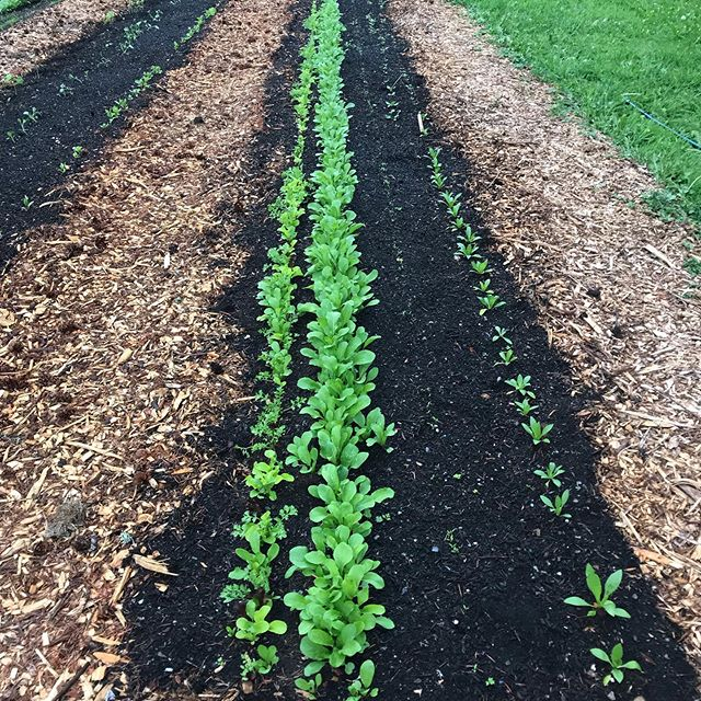 Lettuce rows! The garden is growing like crazy! We have been planting and planting and now that everything is growing well, Getting an irrigation system in is our next priority. The work is never-ending but so rewarding! I love it! #gardeningisfun #growyourownfood #herbandflowerfarm