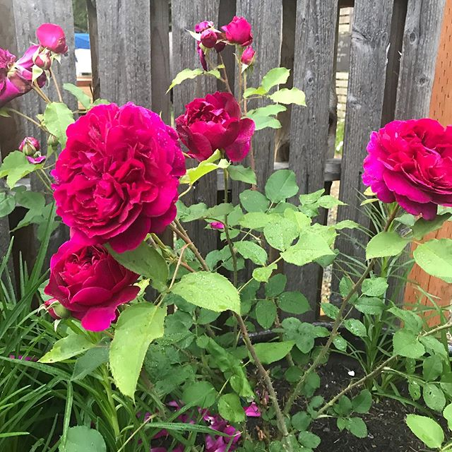 Say HELLO to my Munstead Wood English Shrub Rose by David Austin. This beauty came over from England! I think she is beautiful! She was planted early this spring and is blooming now. #nofilter #Munsteadwoodrose#herbandflowerfarm
