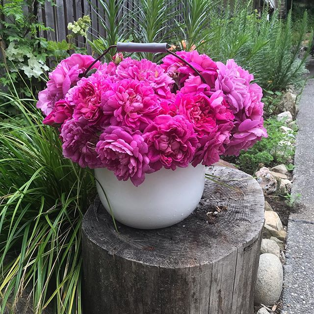 Hello friends! Check out this beautiful bucket of Queen Anne roses! ...I ordered these plants from David Austen. They traveled here all the way from England. I planted them this spring and now they are blooming like crazy! So beautiful 🥰  These roses are so bright and cheerful I want to do a happy dance! I love them, don't you? Happy Monday!  #herbandflowerfarm #queenanneroses #nofilterneeded