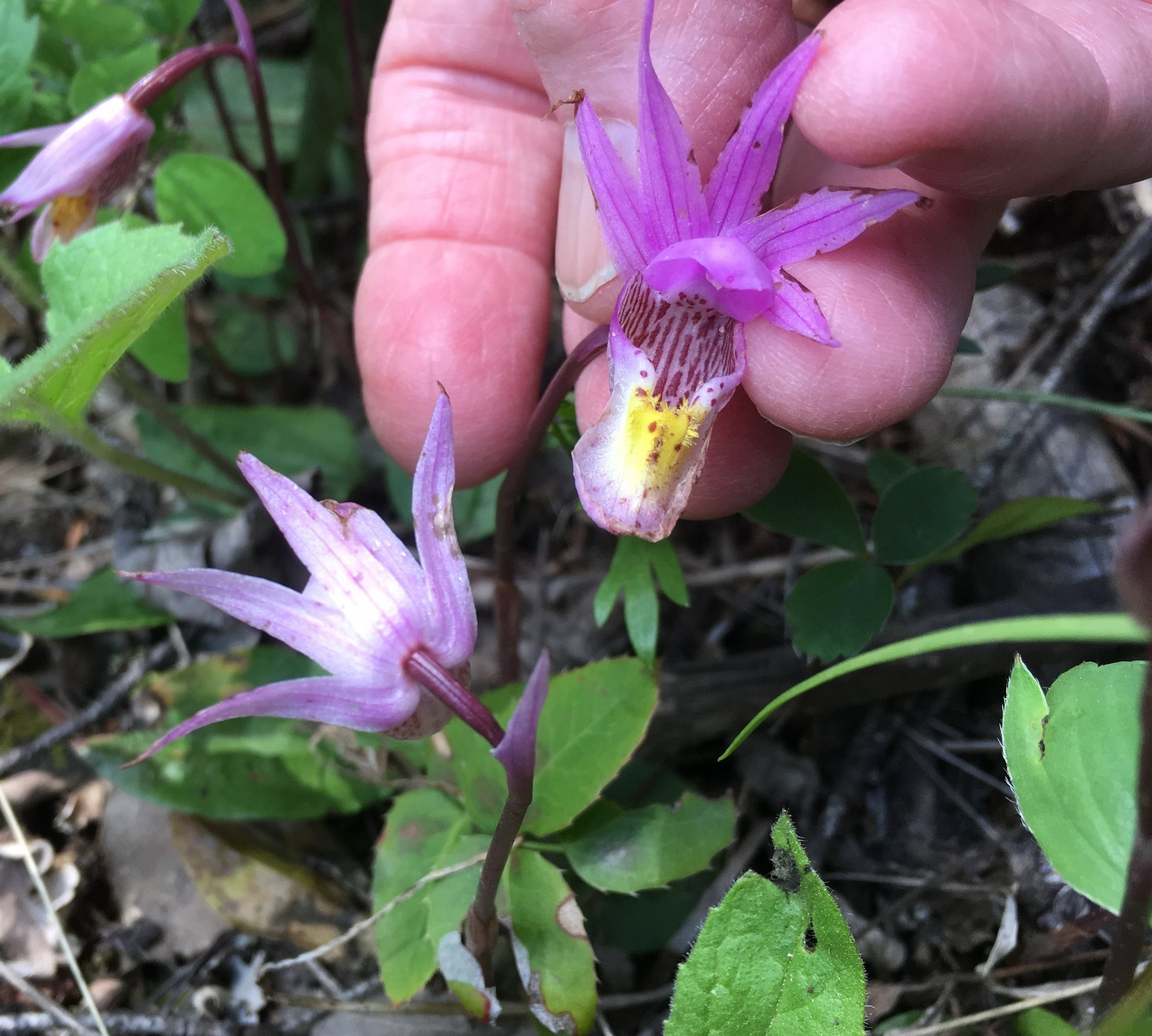 This is a photo of a calypso orchid in the wild, taken  5/2017.