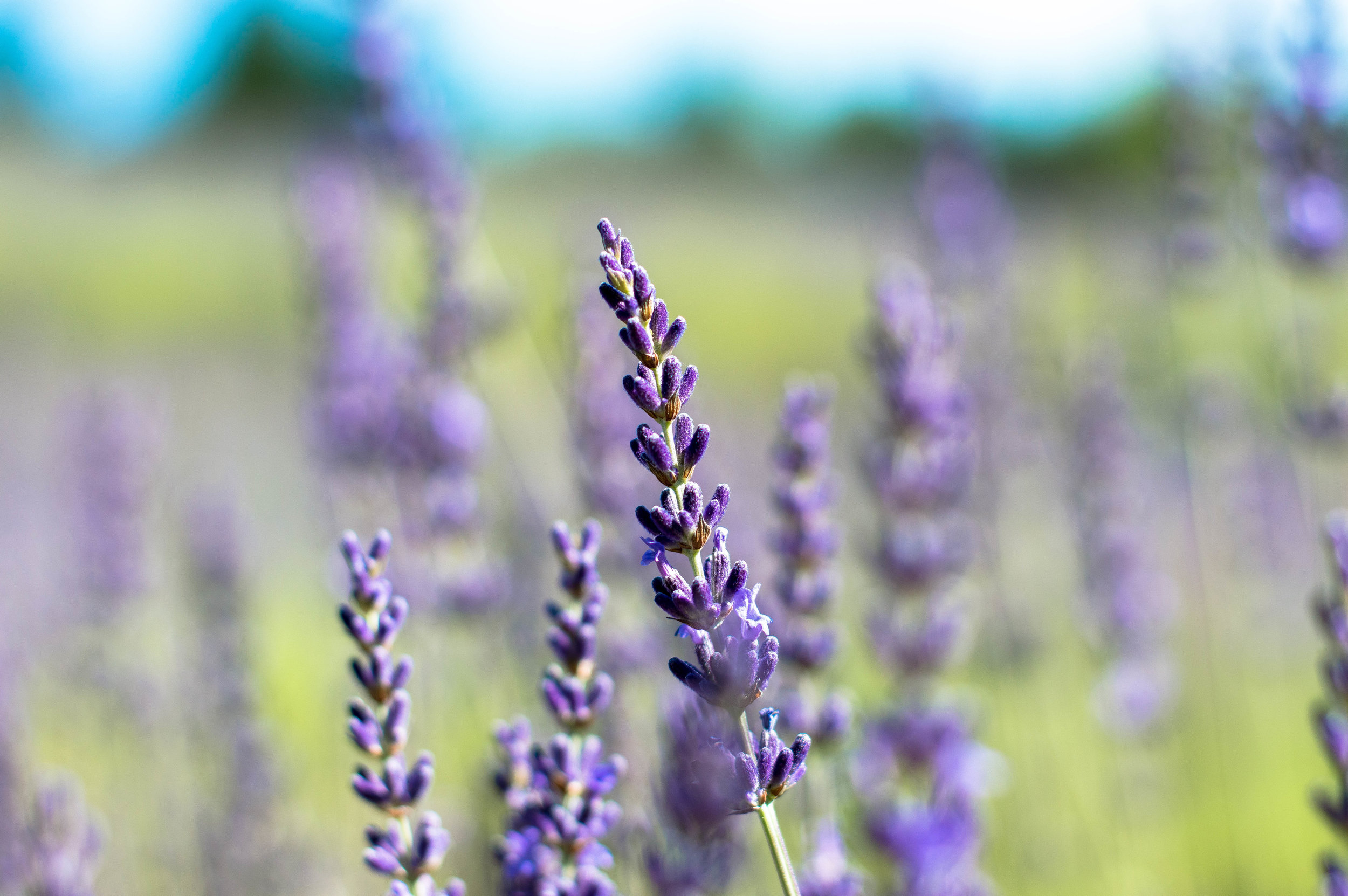 lavender 4 (1 of 1).jpg