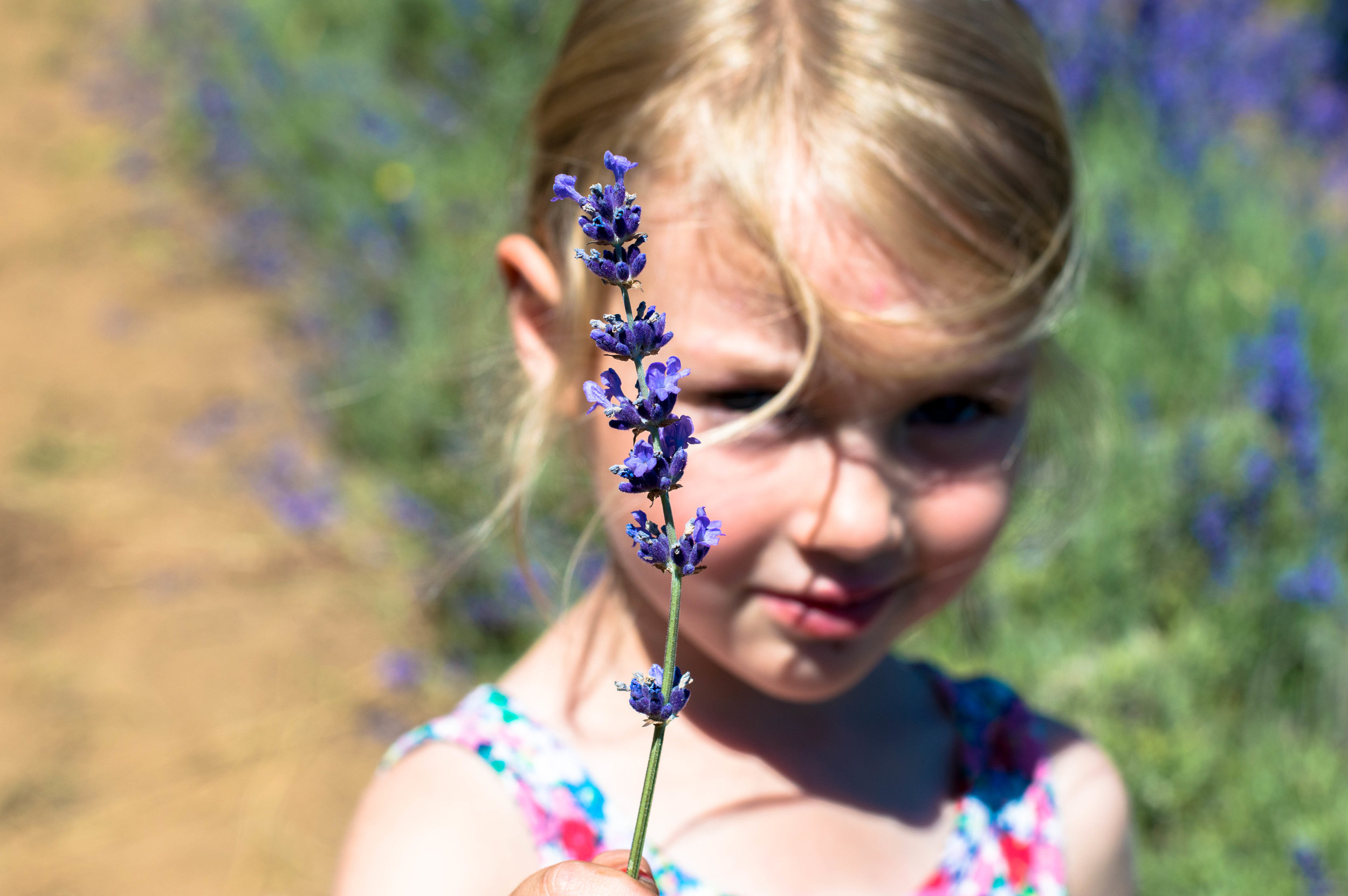 Little Green Lives - The calm before the storm - A little Sunday Lavender picking.