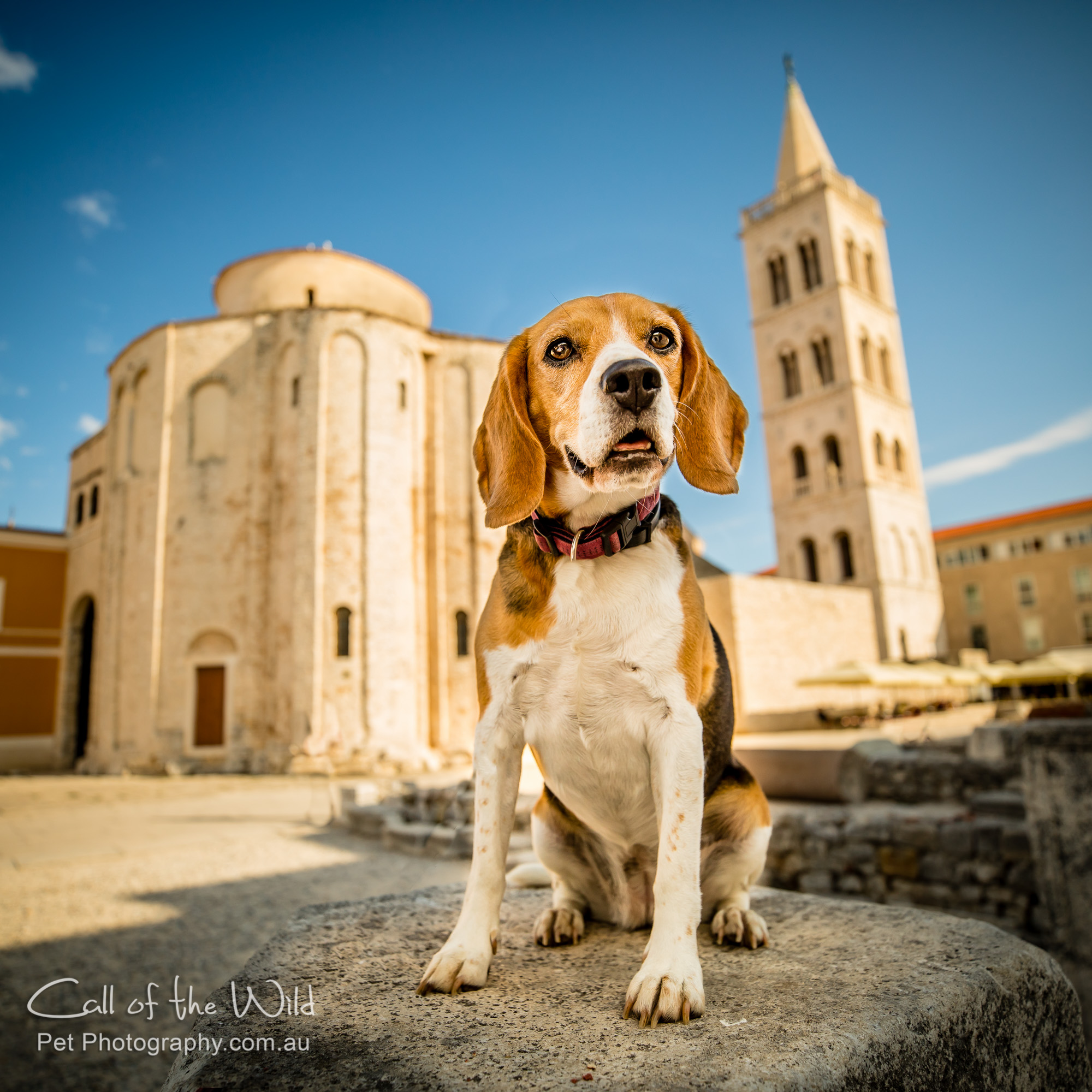 Lilly the Beagle from Croatia