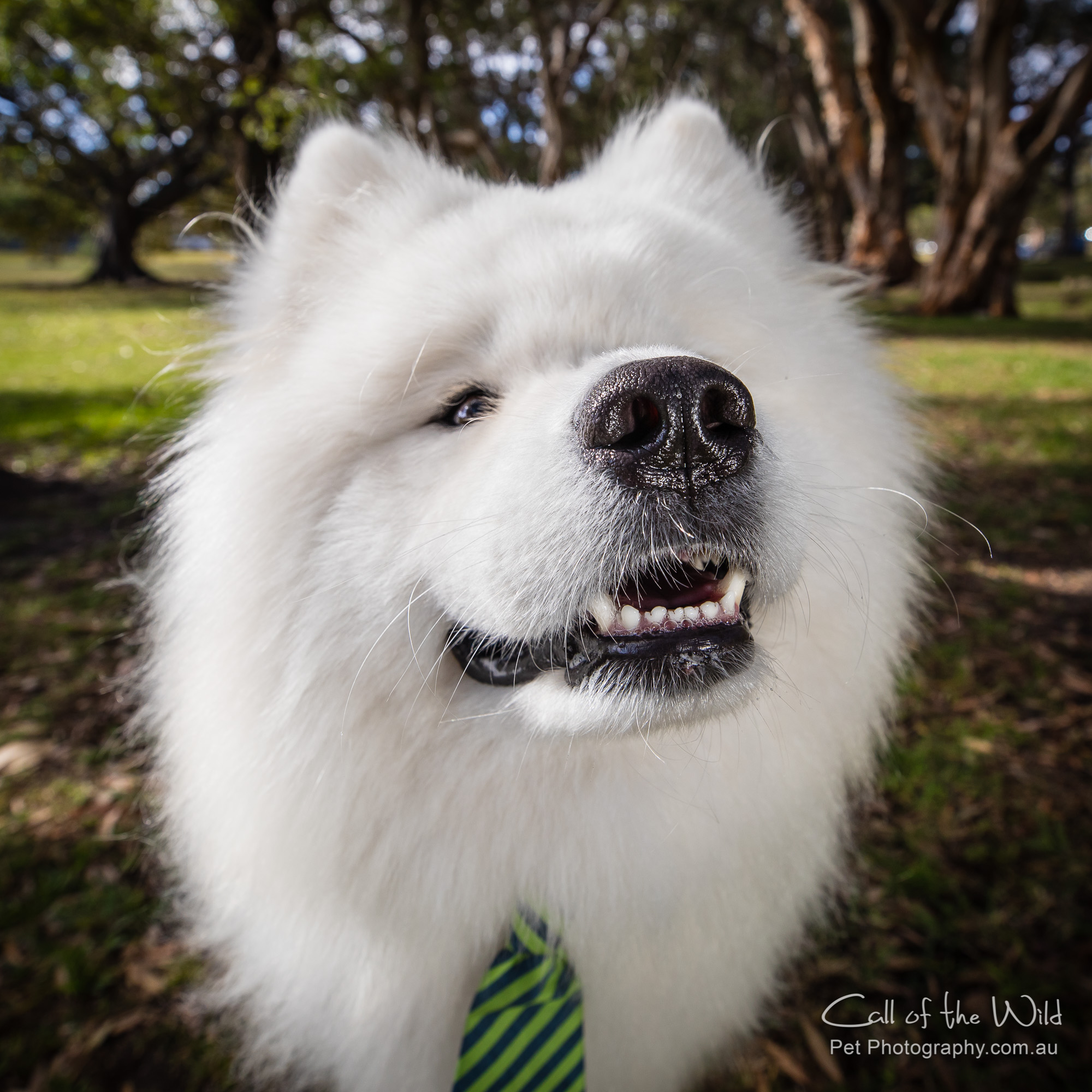 Simba the Samoyed