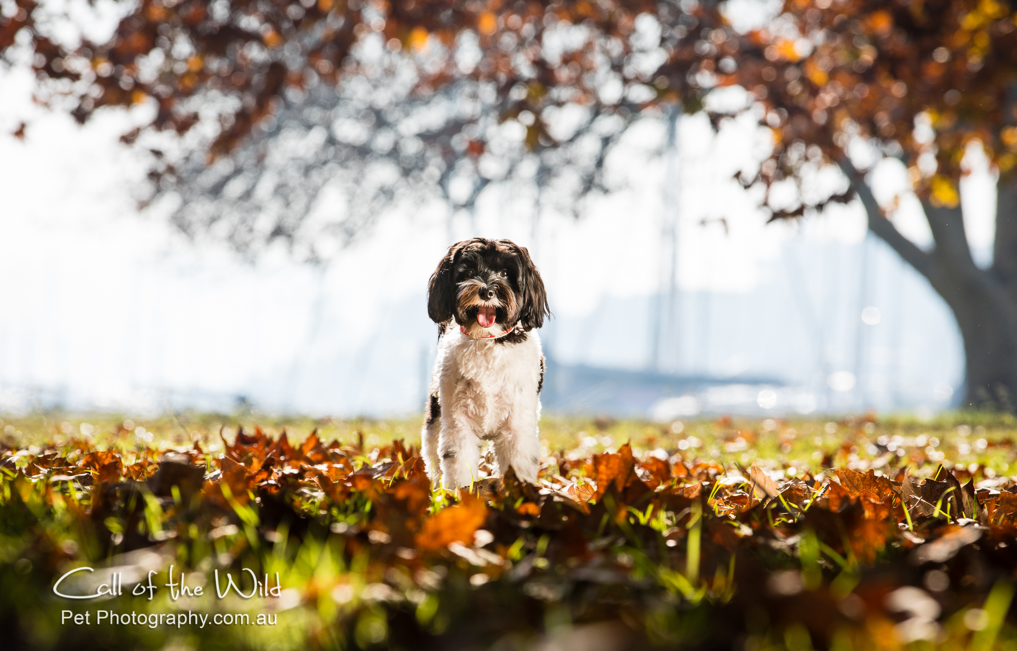 Bepi in the autumn leaves-2018.jpg