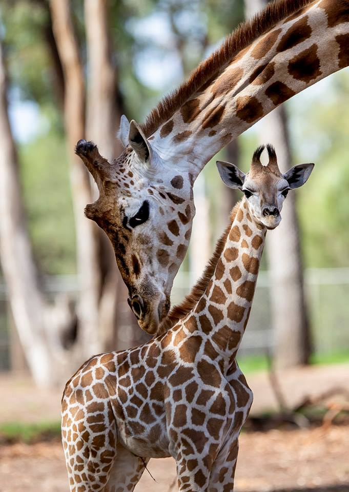 Dubbo stampede giraffe fundraiser