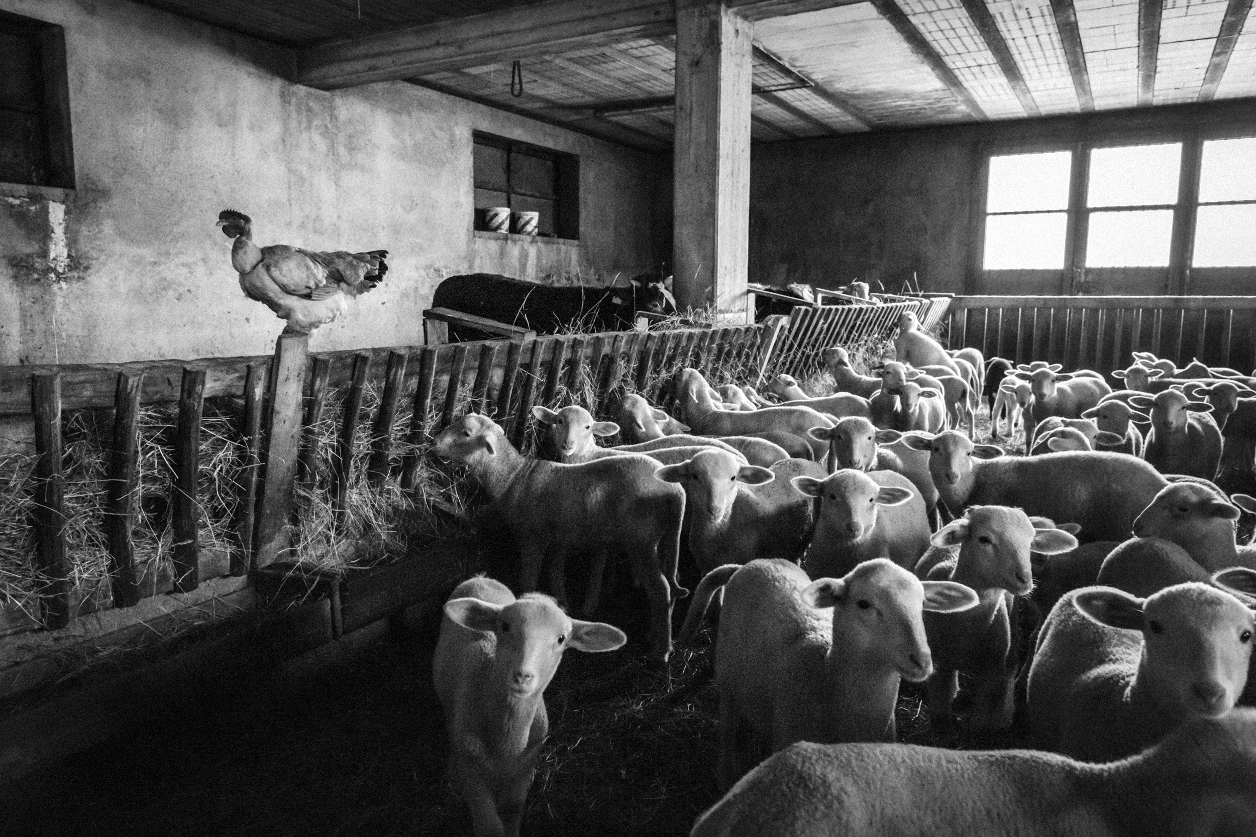 Pescopennataro (IS), Italy - January 2016. Animals in the stable of the Marcovecchio family.