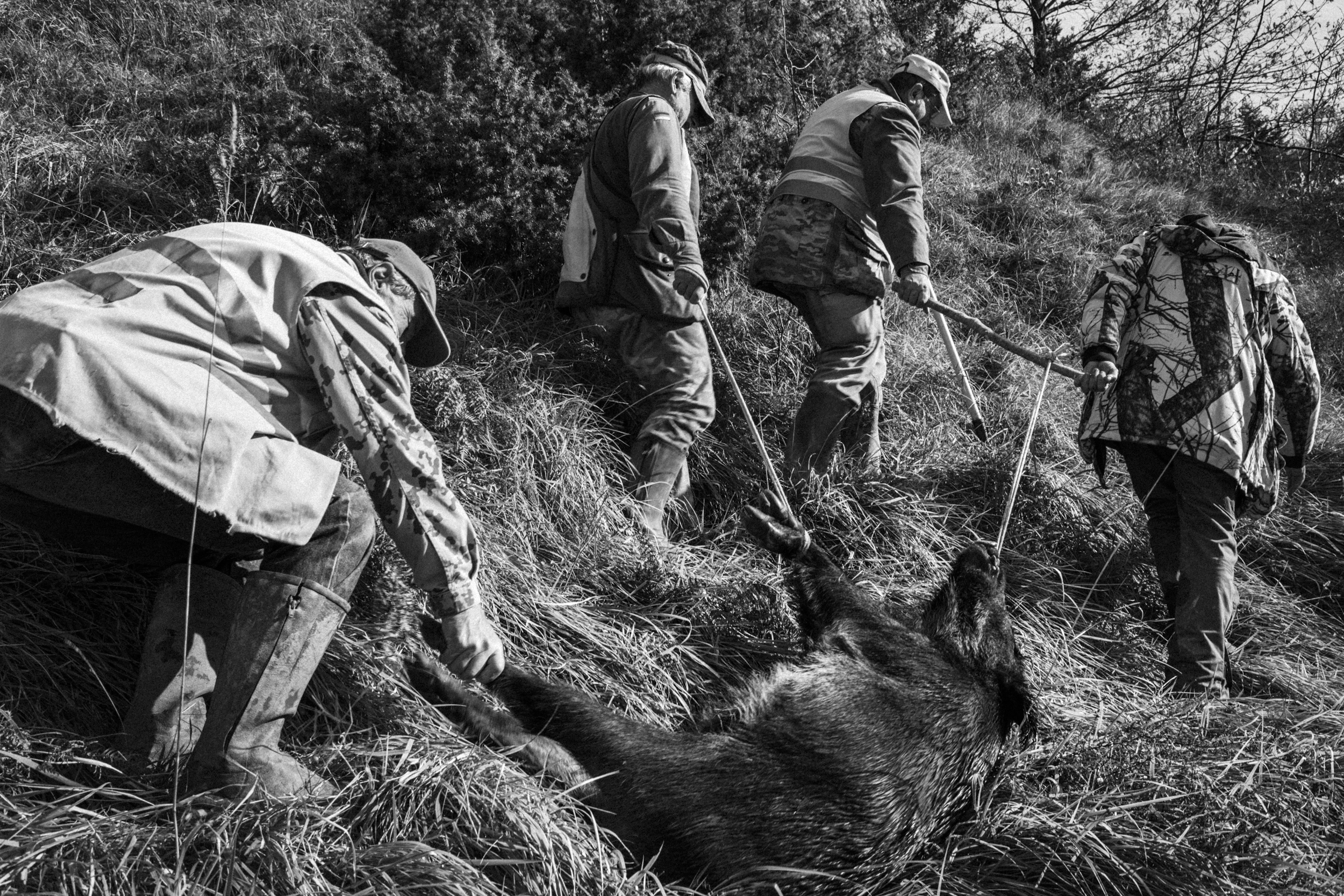 Pescopennataro (IS), Italy - November 2016. A group of local hunters transports a wild boar, just killed. The wild boars in recent years represent a true plague for local farmers. Without due precautions, wild boars systematically destroy seasonal plantations
