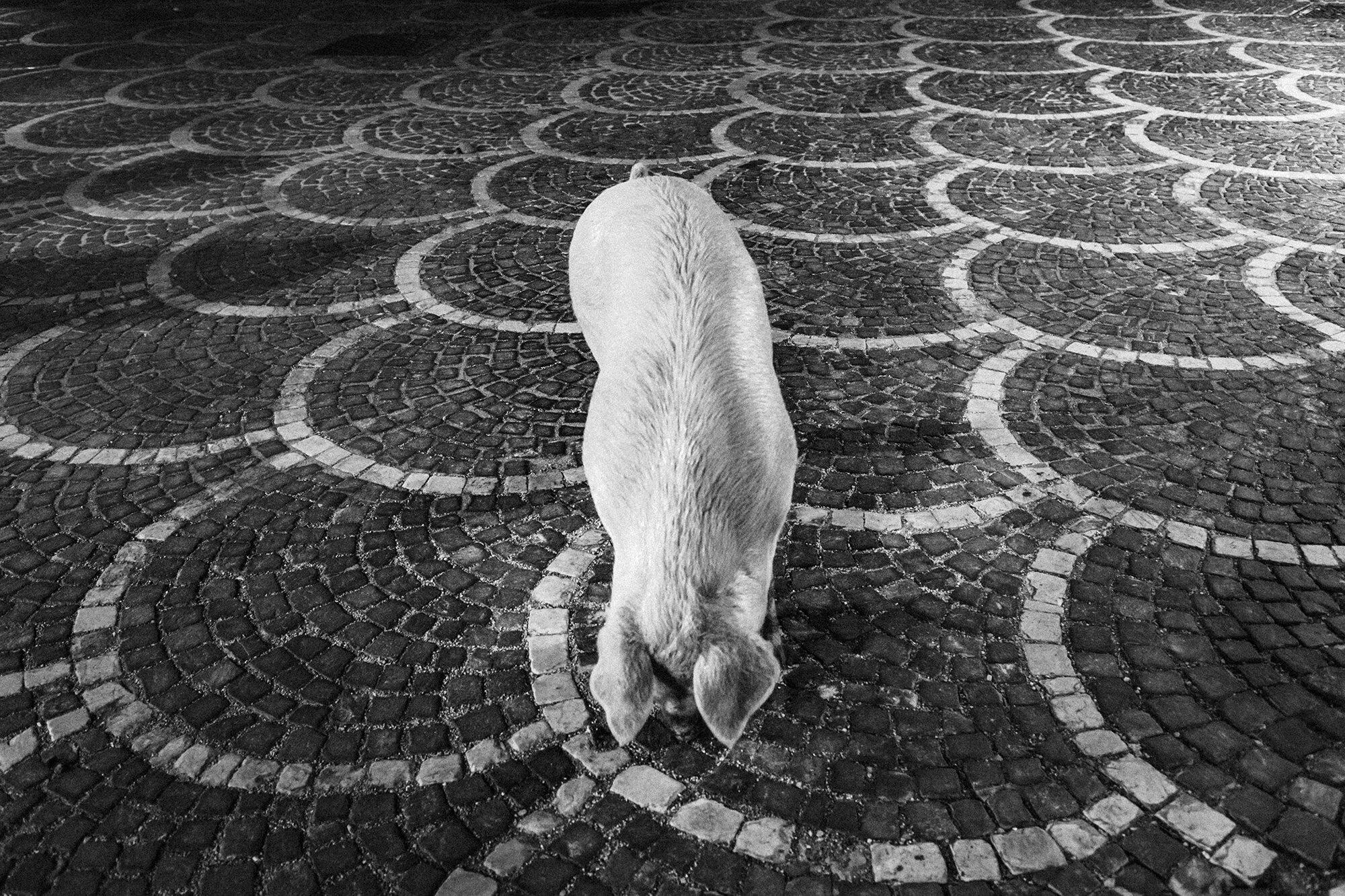"""Il  """"porco di sant'Antonio"""" , una tradizione che tutt'ora resiste in uno solo dei paesi dell'Altomolise.  Questa fotografia è stata scattata durante la prima edizione del workshop , alla presenza dei partecipanti. La seconda versione, differente per punto di ripresa e a colori, presente nel lavoro """"Along the sheperds' highways"""" è stata pubblicata da Stern magazine in Germania e da La vie in Francia nei mesi scorsi. Cosa significa? Nulla, solamente che non sempre occorre andare lontano per fare fotografia e ottenere dei risultati. ©Giuseppe Nucci"""