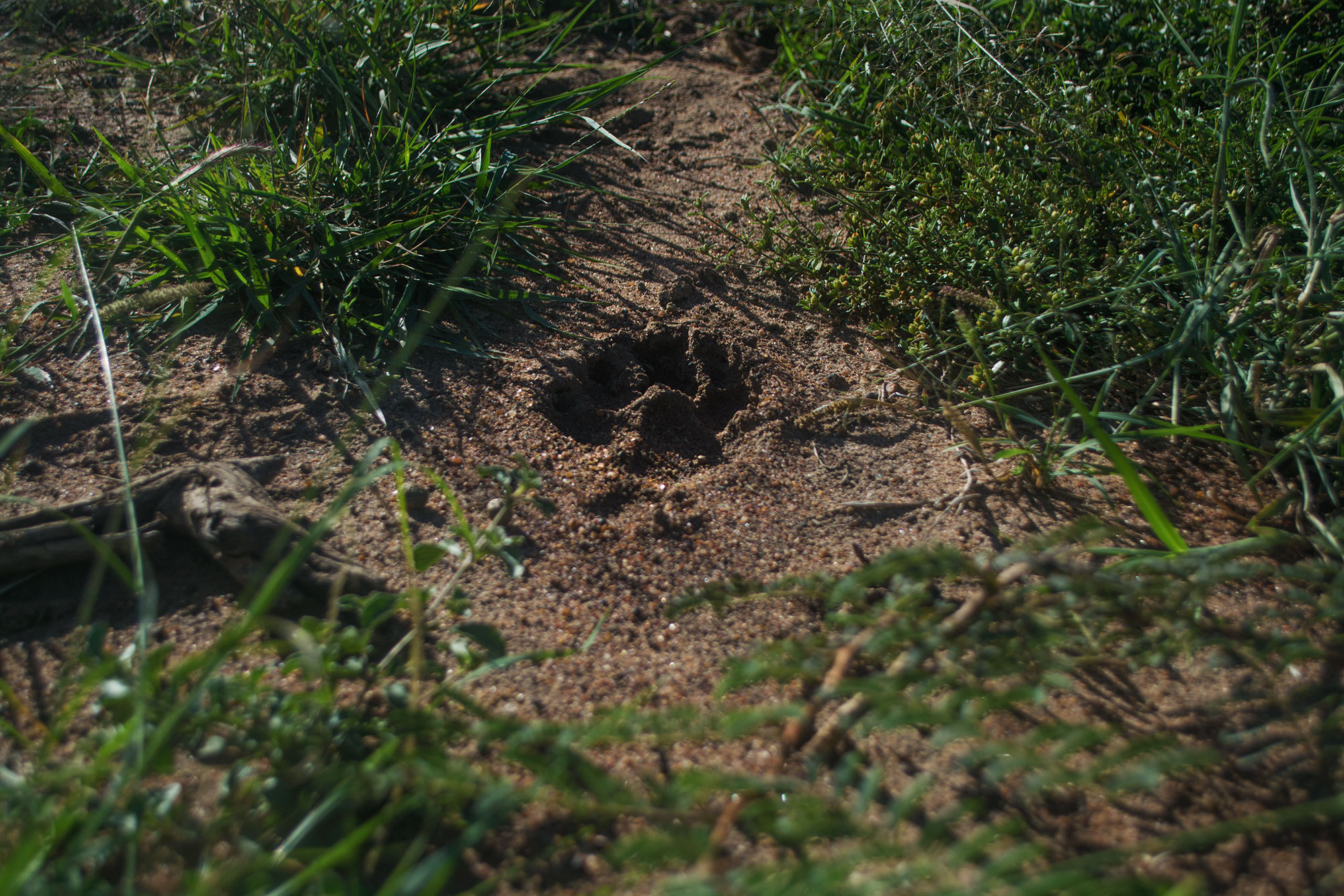 The hyena track we found was one of the first. Check out the full story on our instagram  here .