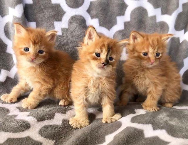 Cute #poshmainecoons #mainecoonkitten #mainecoonpolydactyl #mainecoonlovers #polydactylcat #polydactylkitten #polydactylmainecoon