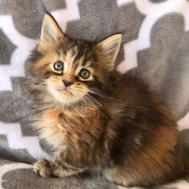 This girl is available she is six weeks old #poshmainecoons #mainecoonbaby #mainecoonkitten #mainecoonoftheday #mainecoonforsale #mainecoonlovers