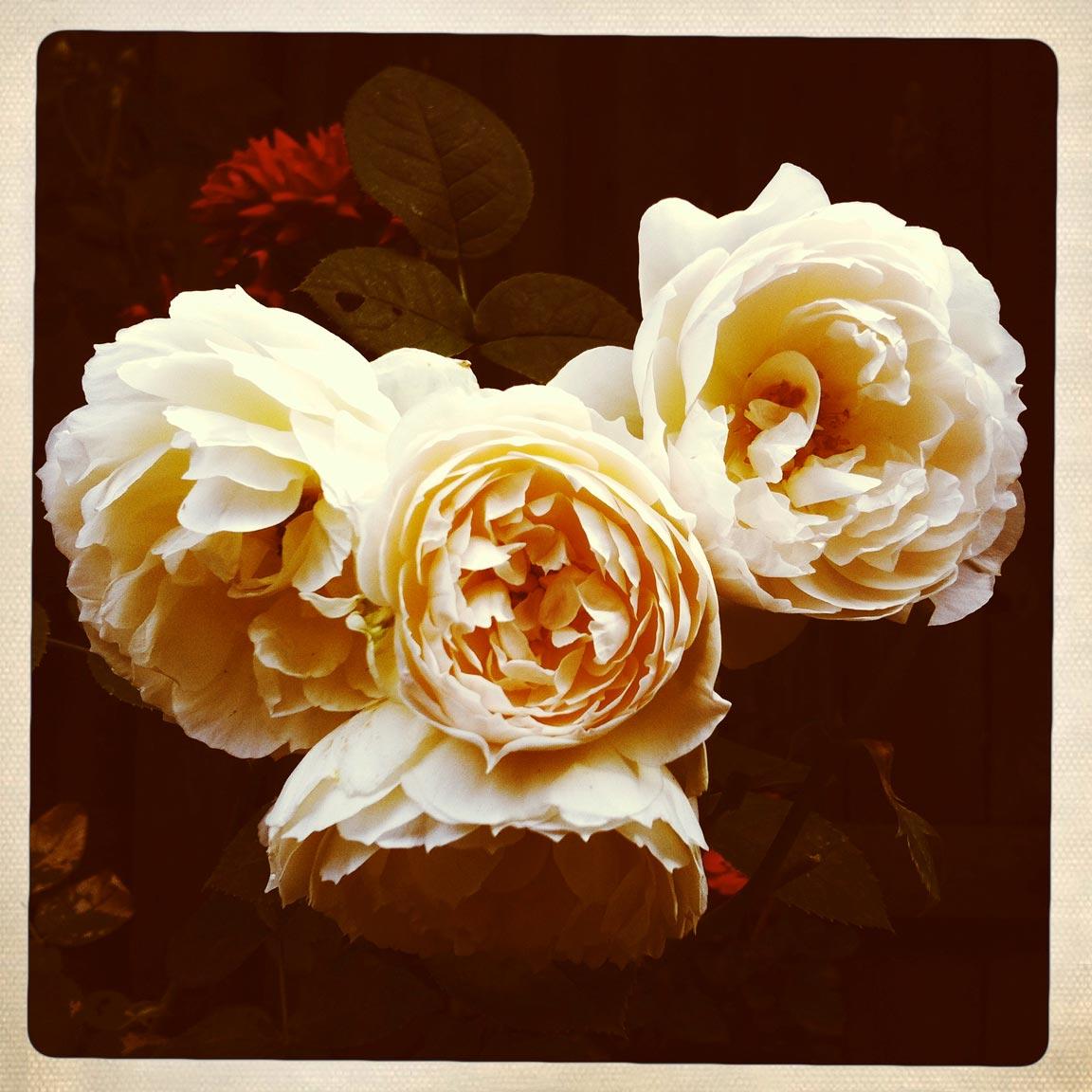 Roses1_2017-11-7