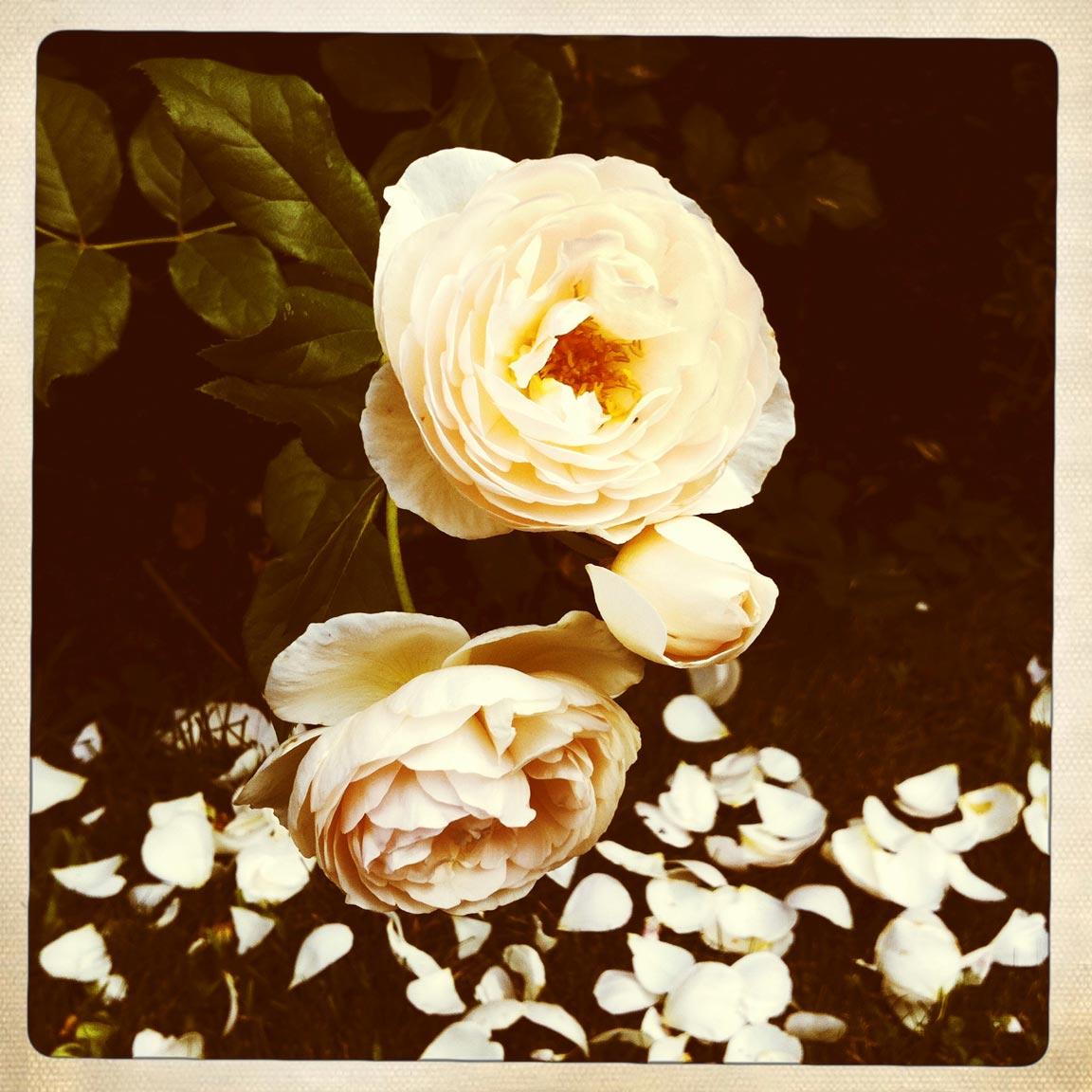 Roses2_2017-11-7