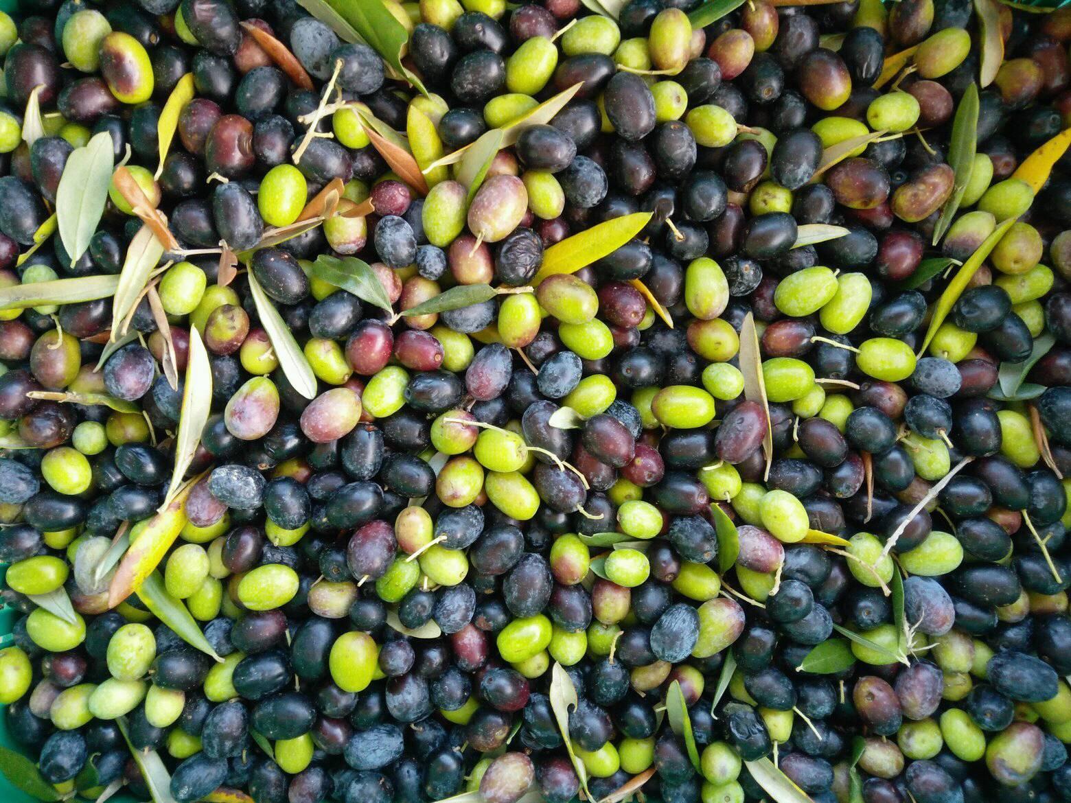 podere_lemniscata_olive.jpg
