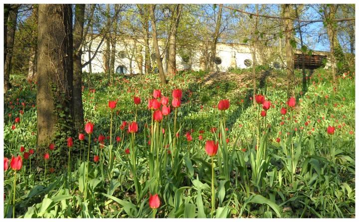 Tulipani_a_Corte_Govone_Piemonte.jpg