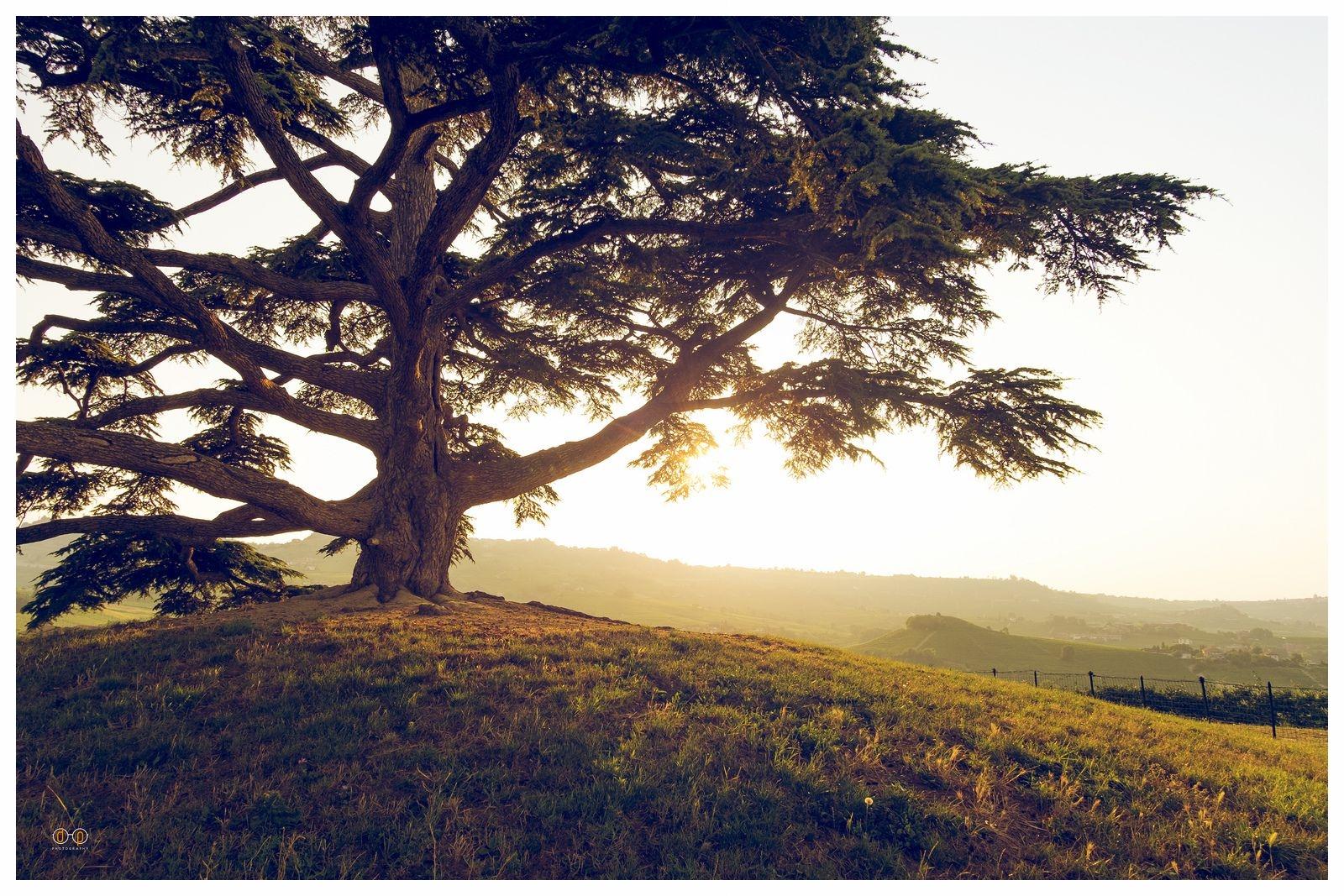 il cedro del libano langhe la morra.jpg