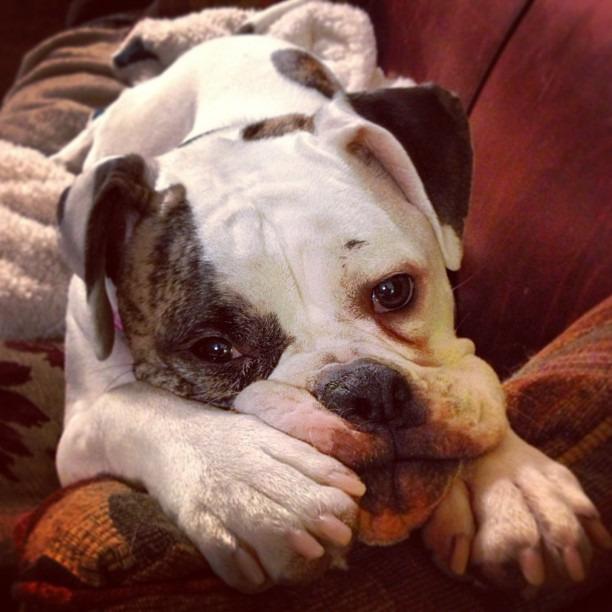 Yea, I don't want to go to work either #caseofthemondays #guilttrip #bully #bulldog #dogsofinstagram #bullysofinstagram #